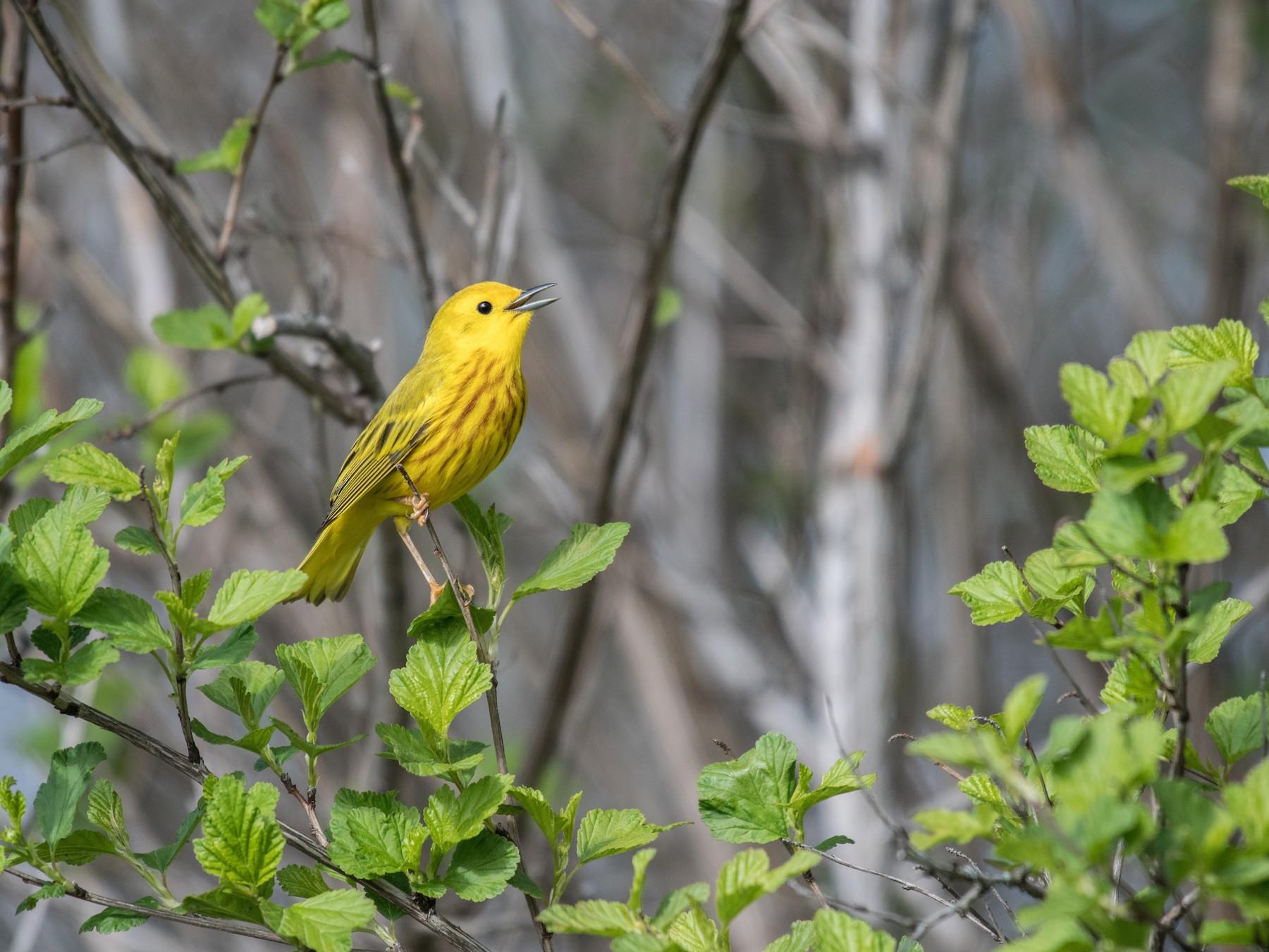 Yellow Warbler - Simon Boivin
