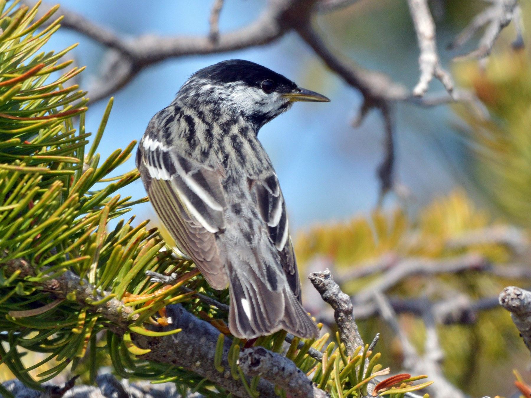 Blackpoll Warbler - Kathy Marche