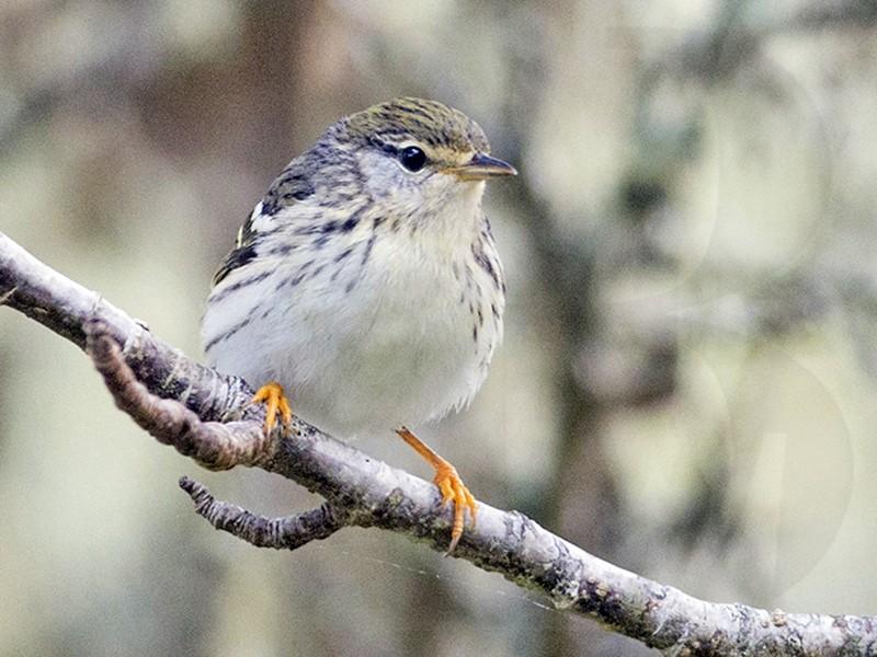 Blackpoll Warbler - Lucas Berrigan