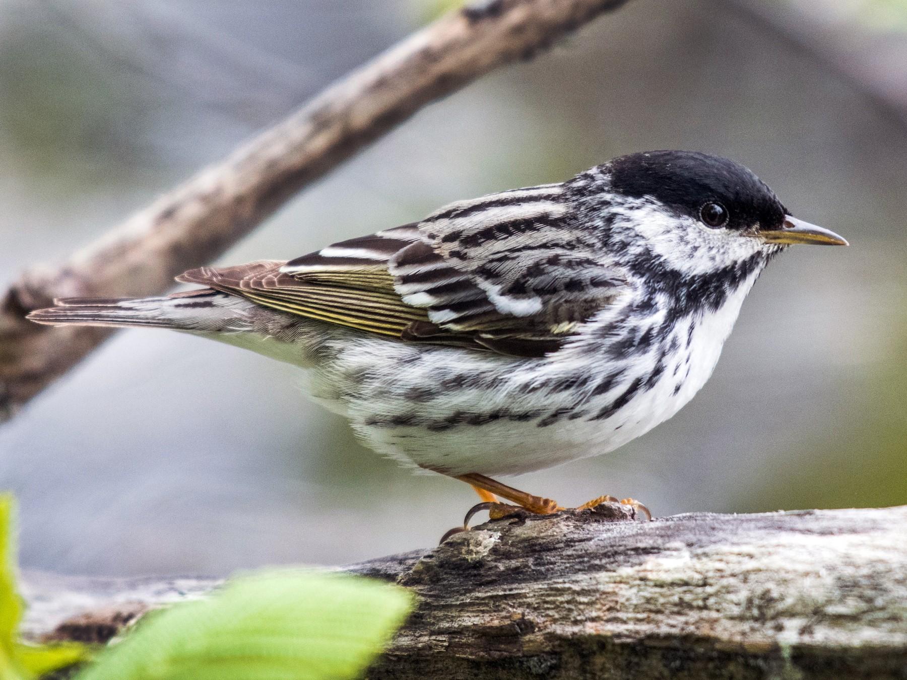 Blackpoll Warbler - Simon Boivin