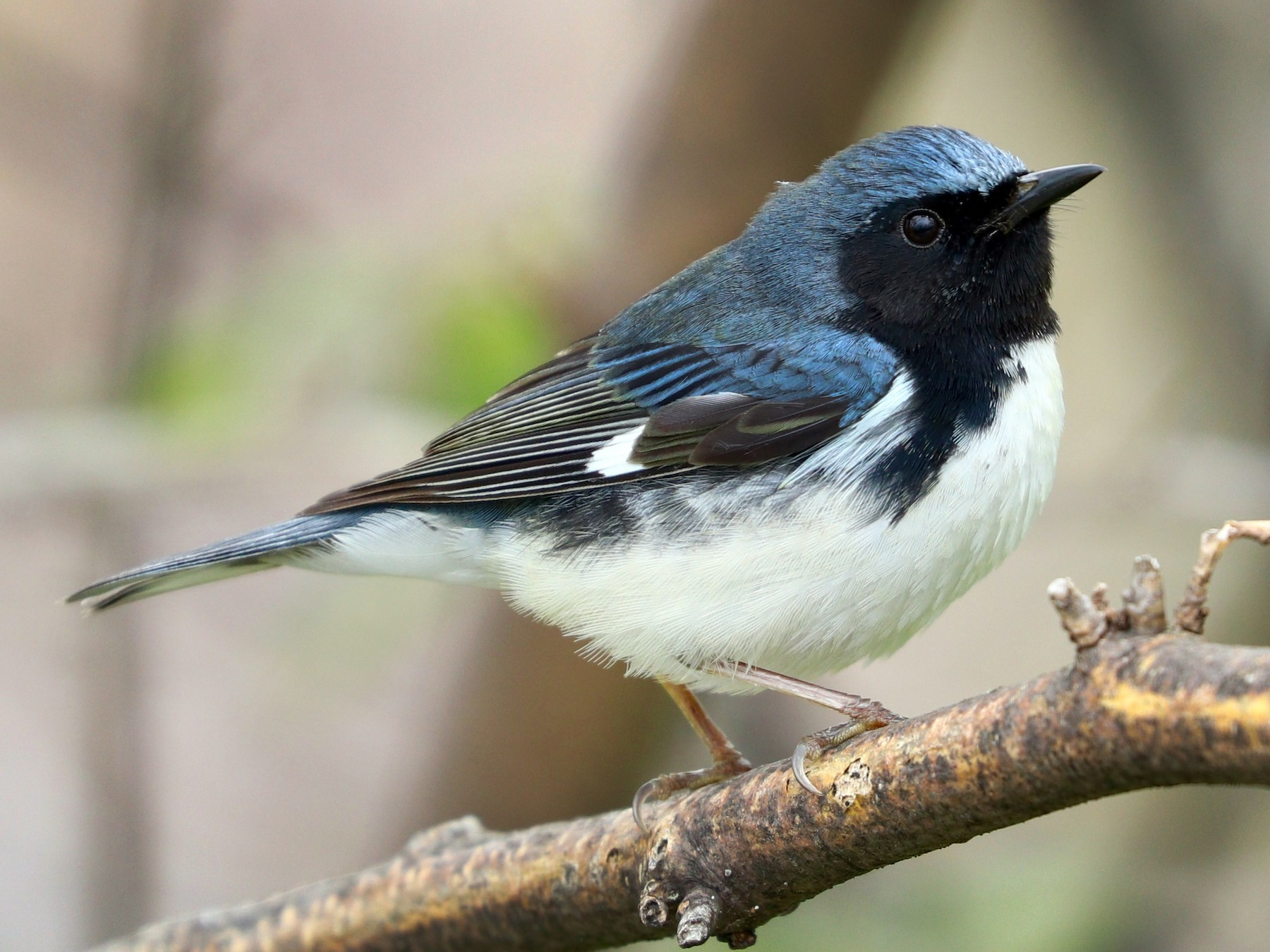 Black-throated Blue Warbler - Aaron Marshall