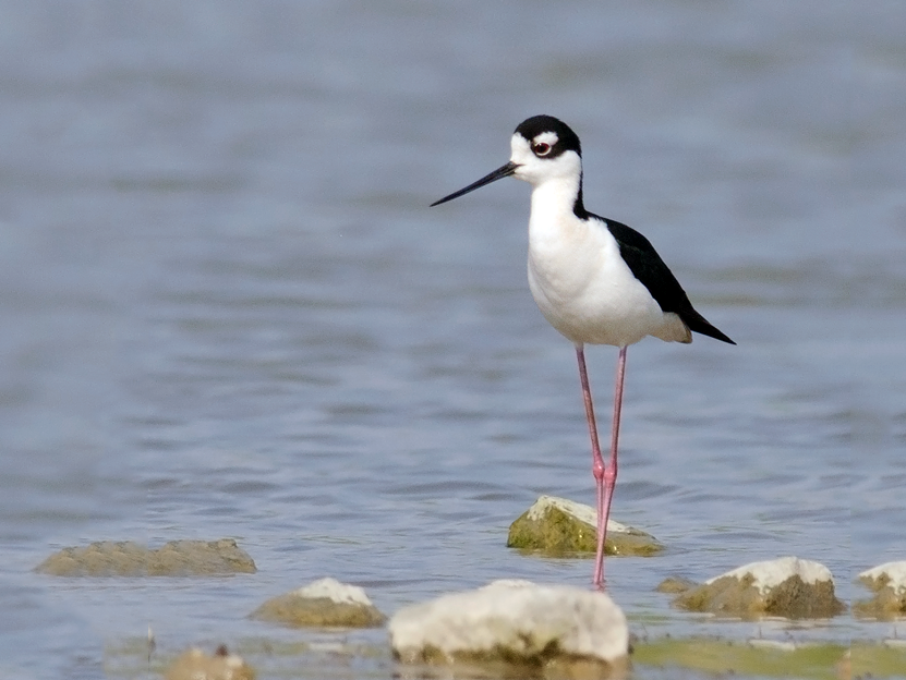 Black-necked Stilt - Joshua Vandermeulen