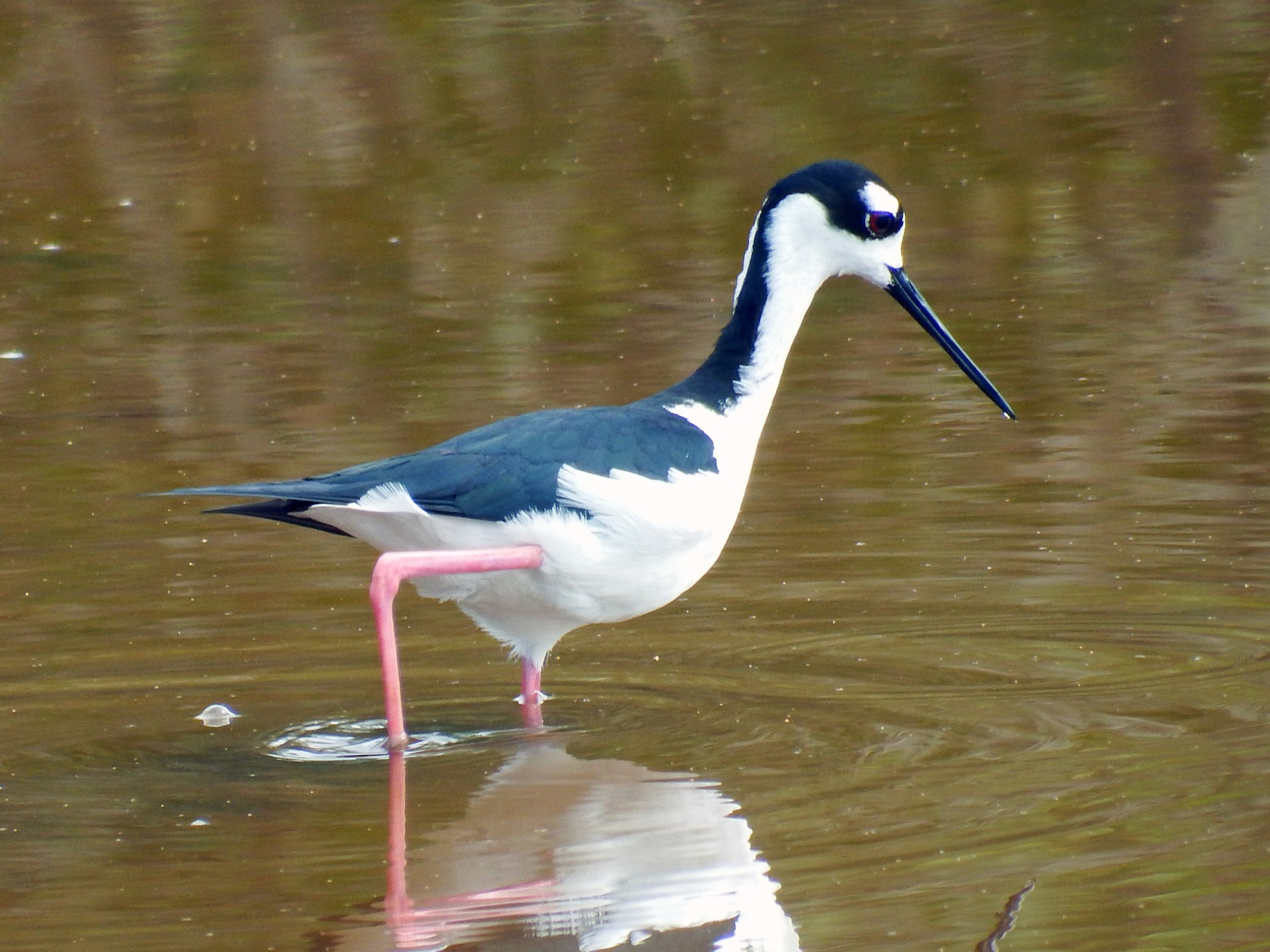 Black-necked Stilt - Elijah Sands