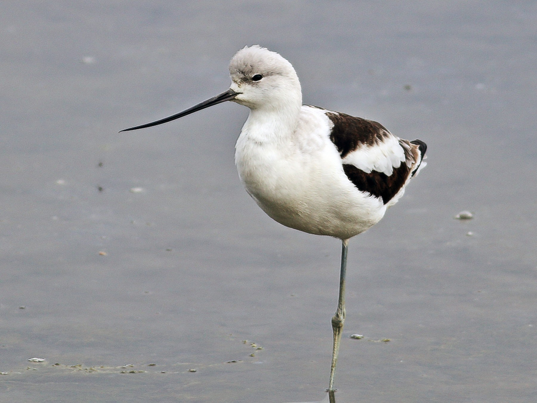 American Avocet - Paul Fenwick