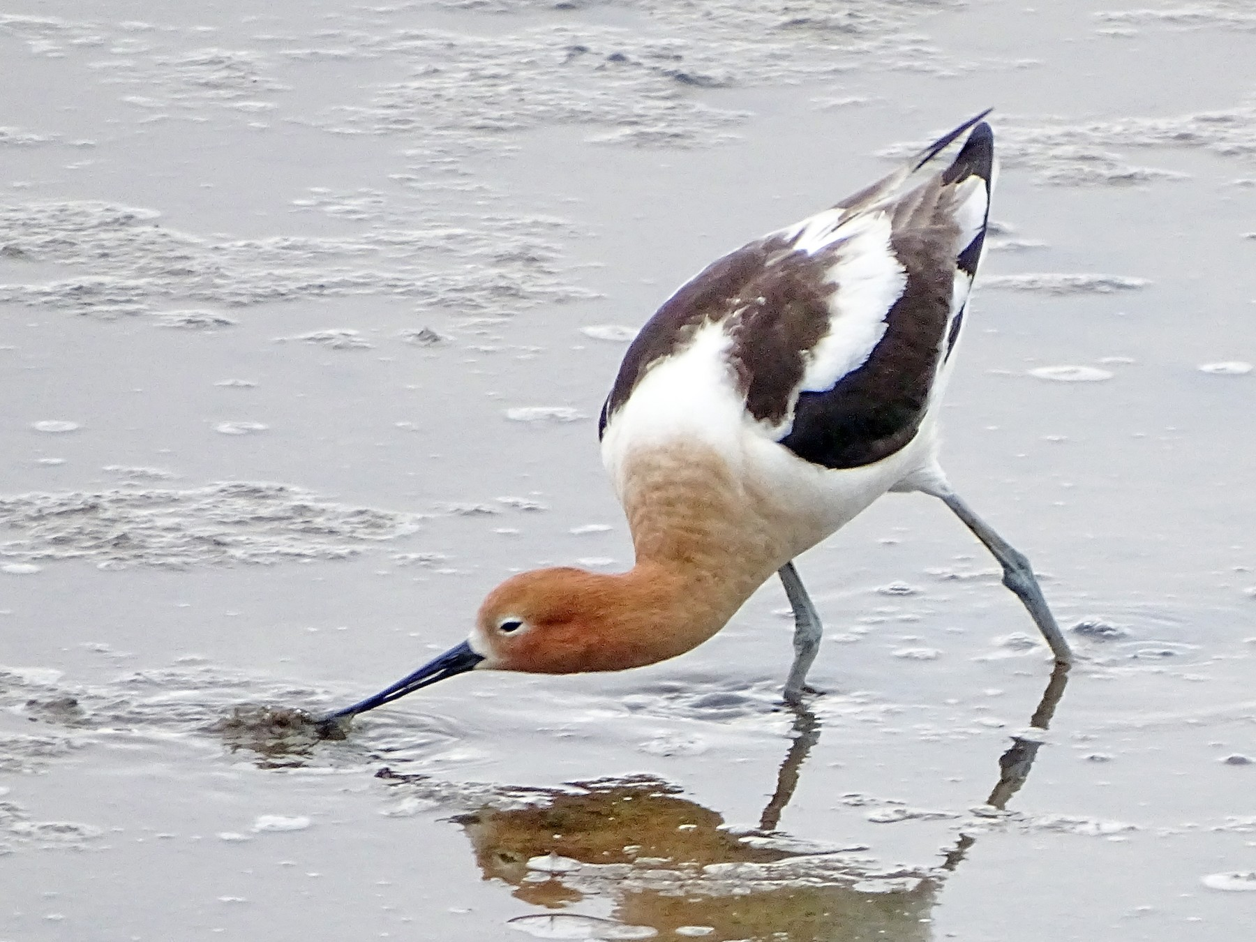American Avocet - Paul Barchilon