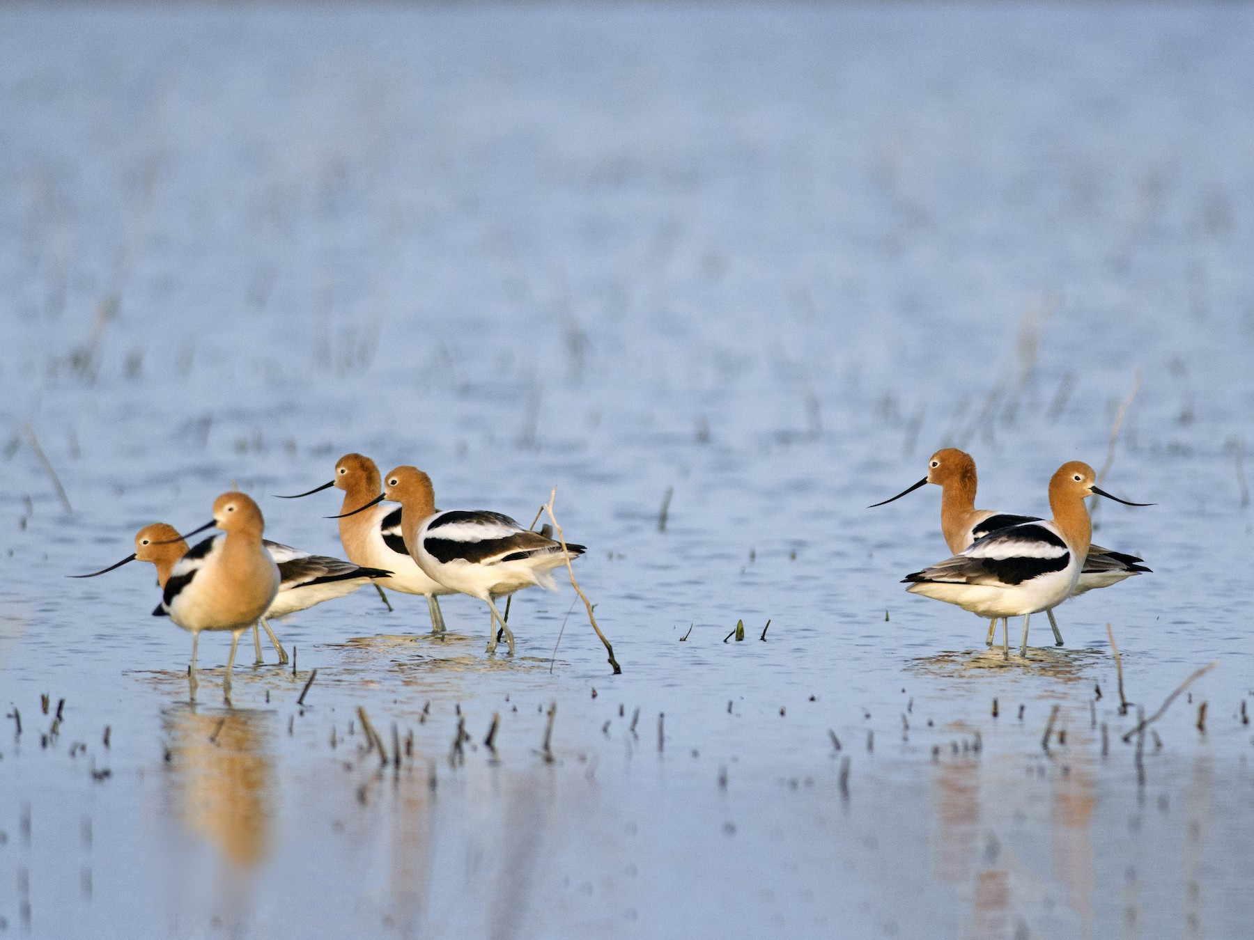 American Avocet - Anonymous eBirder