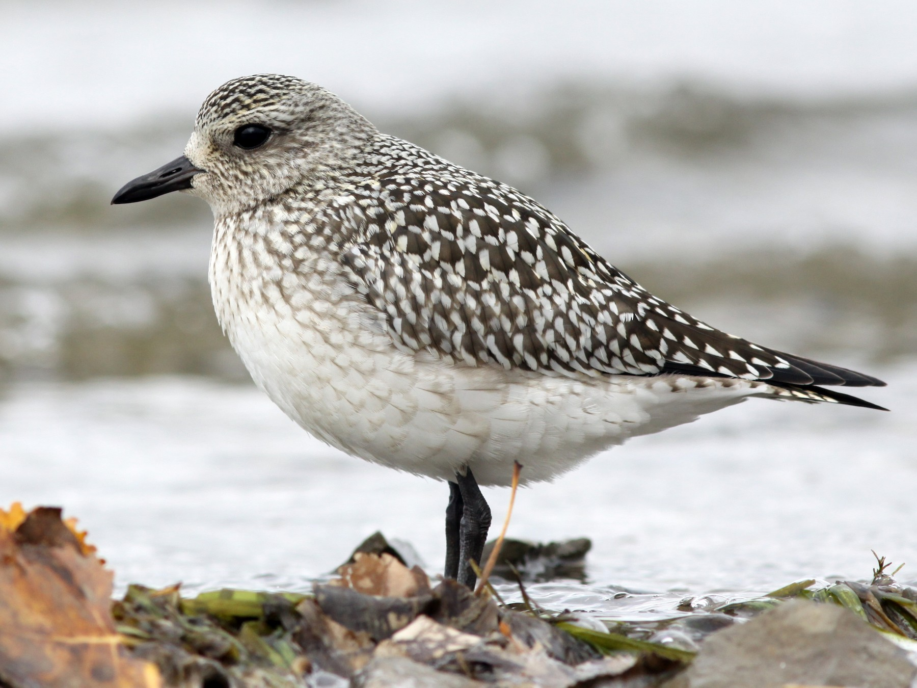 Black-bellied Plover - Mark Patry