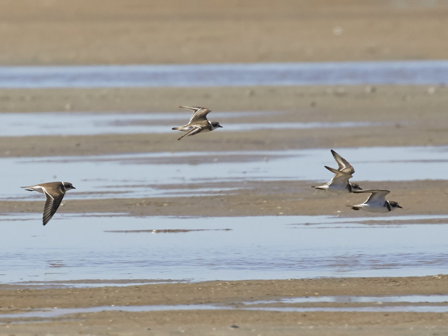 Semipalmated Plover - Brooke Miller