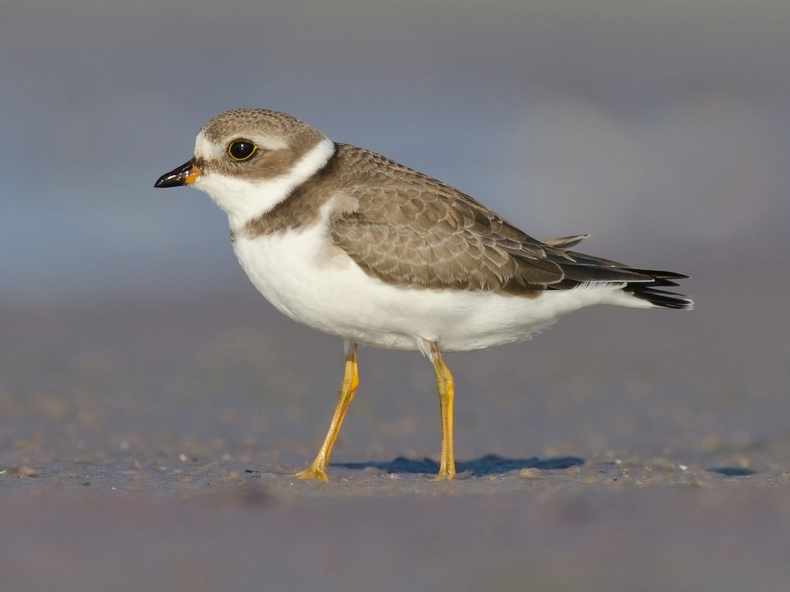 Semipalmated Plover - Alix d'Entremont