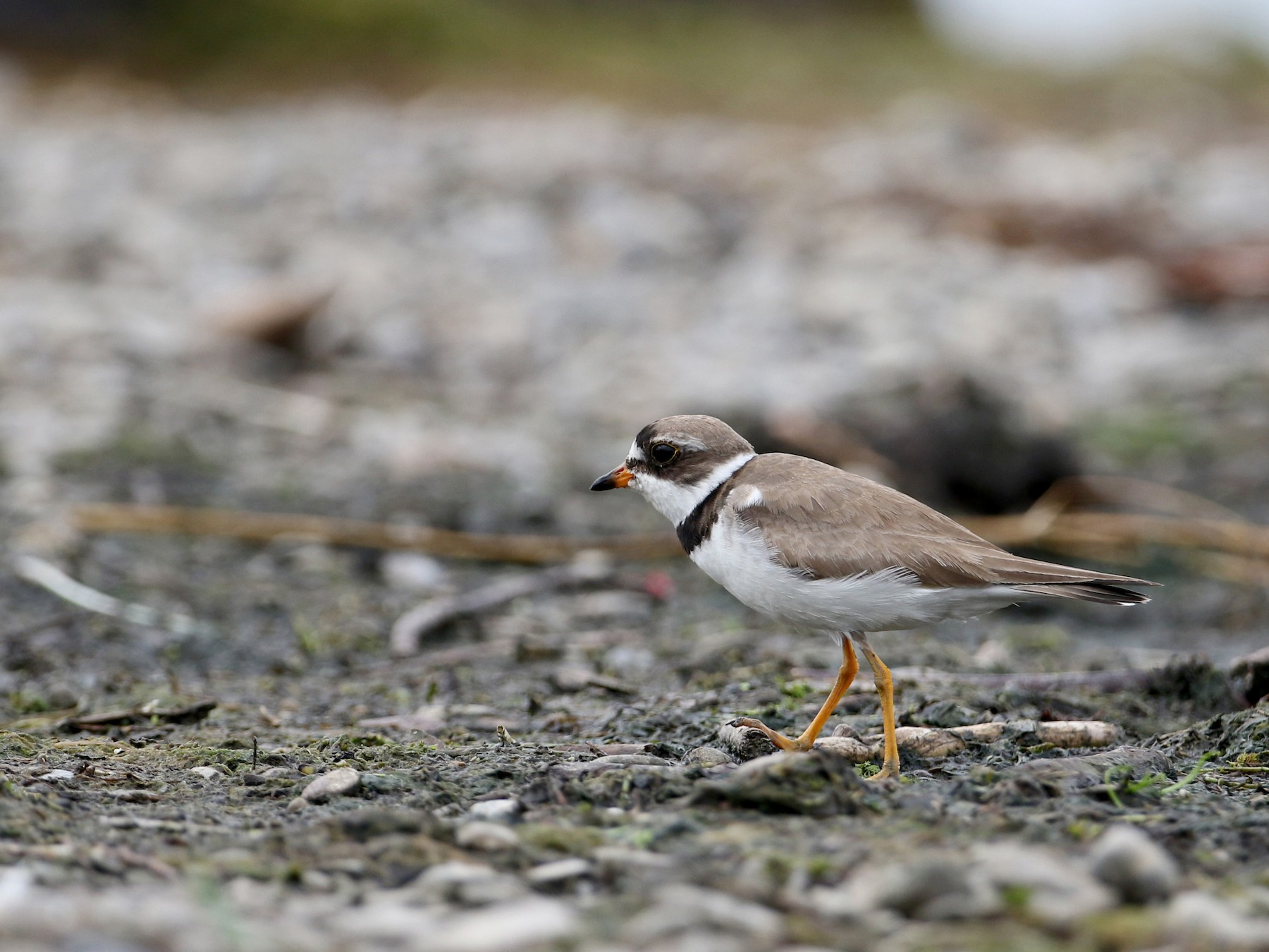 Semipalmated Plover - Jay McGowan