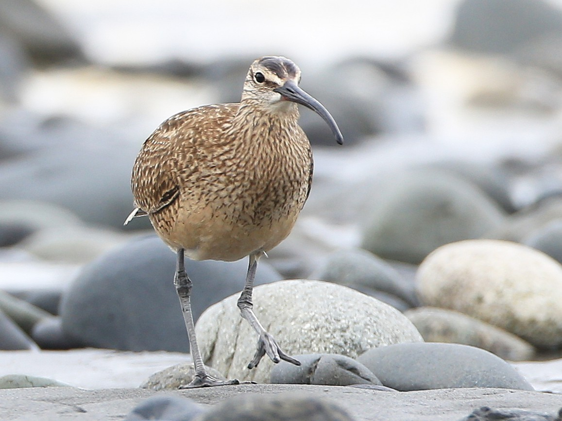 Whimbrel - Tim Lenz