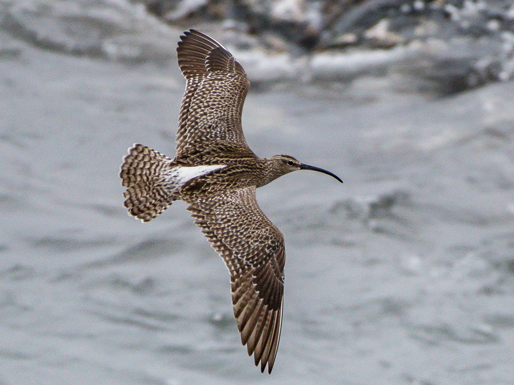 Whimbrel - Frank King