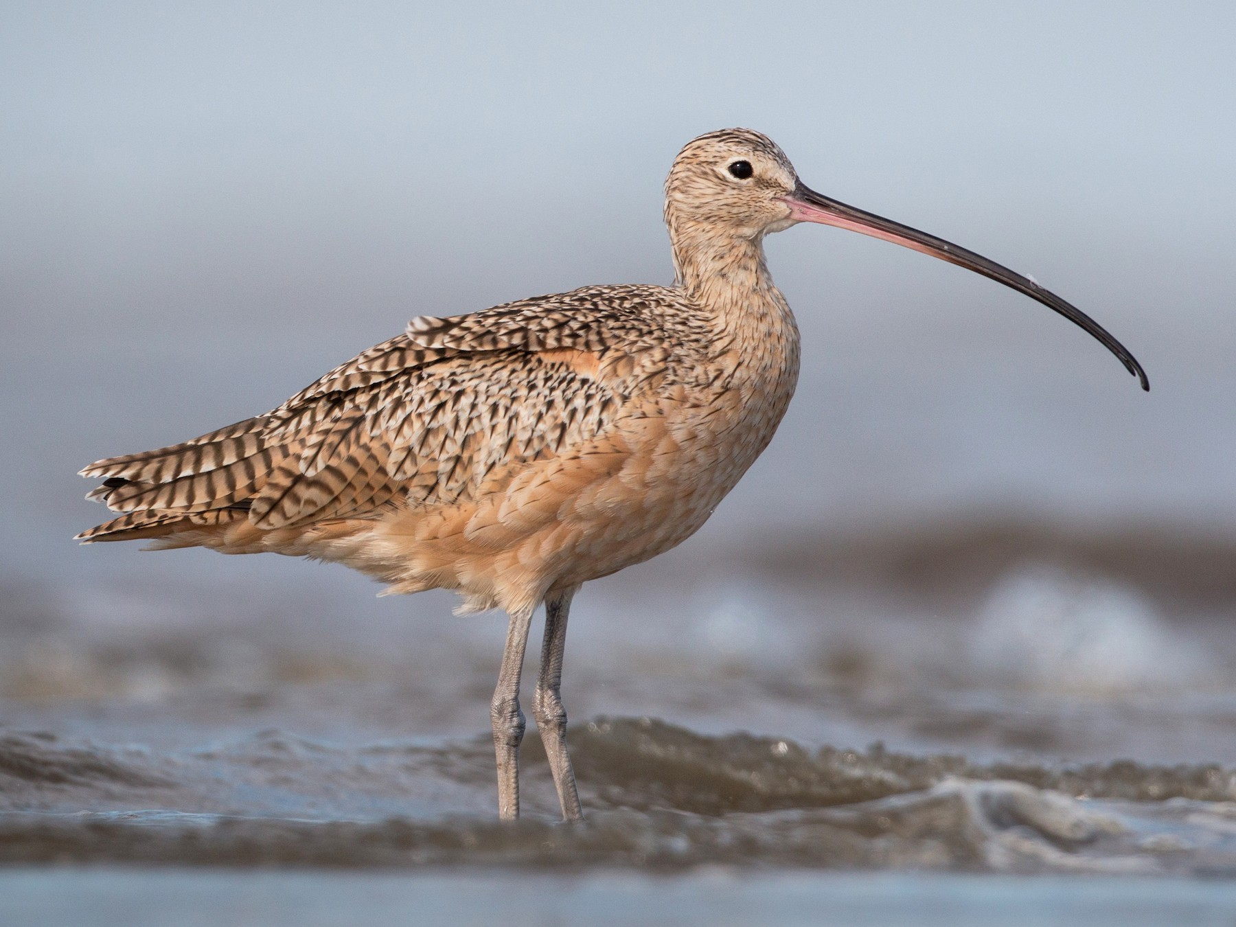 Long-billed Curlew - Ian Davies