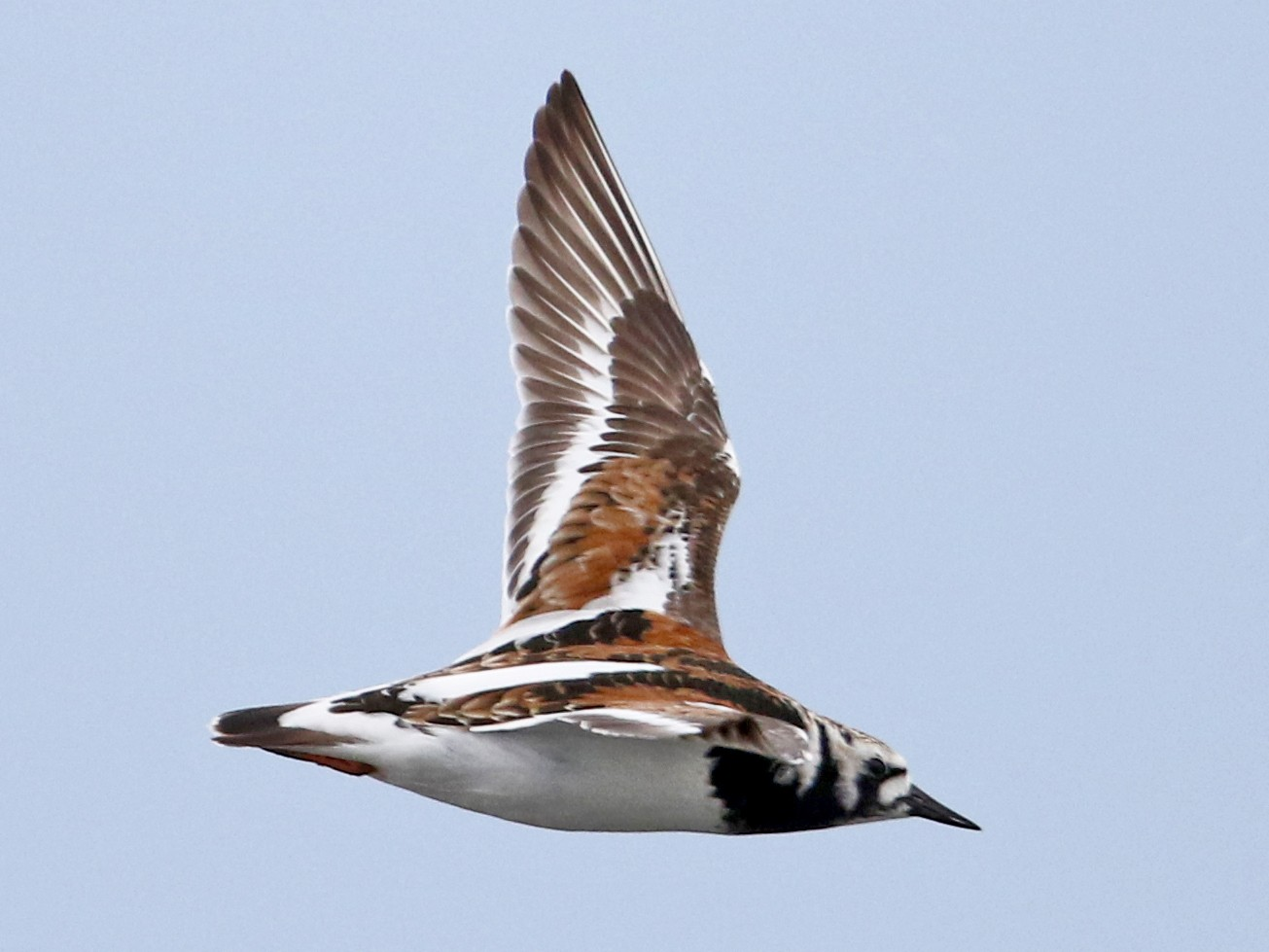 Ruddy Turnstone - Jay McGowan