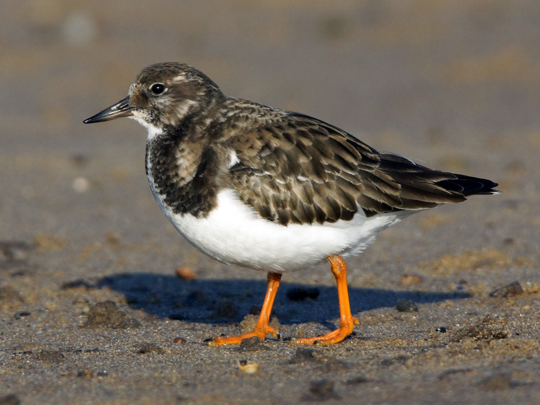 Ruddy Turnstone - Steve Percival