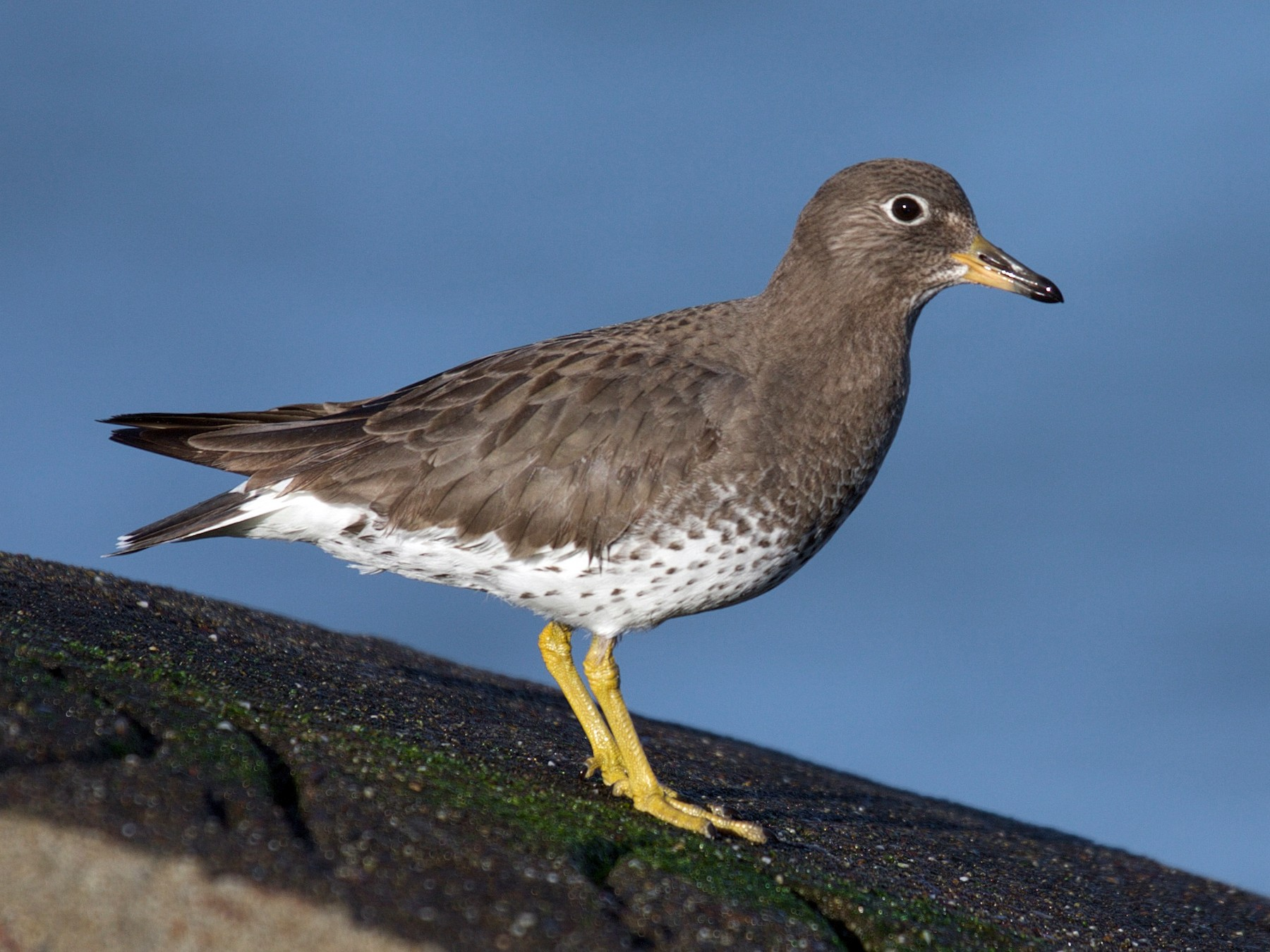 Surfbird - Matt Brady