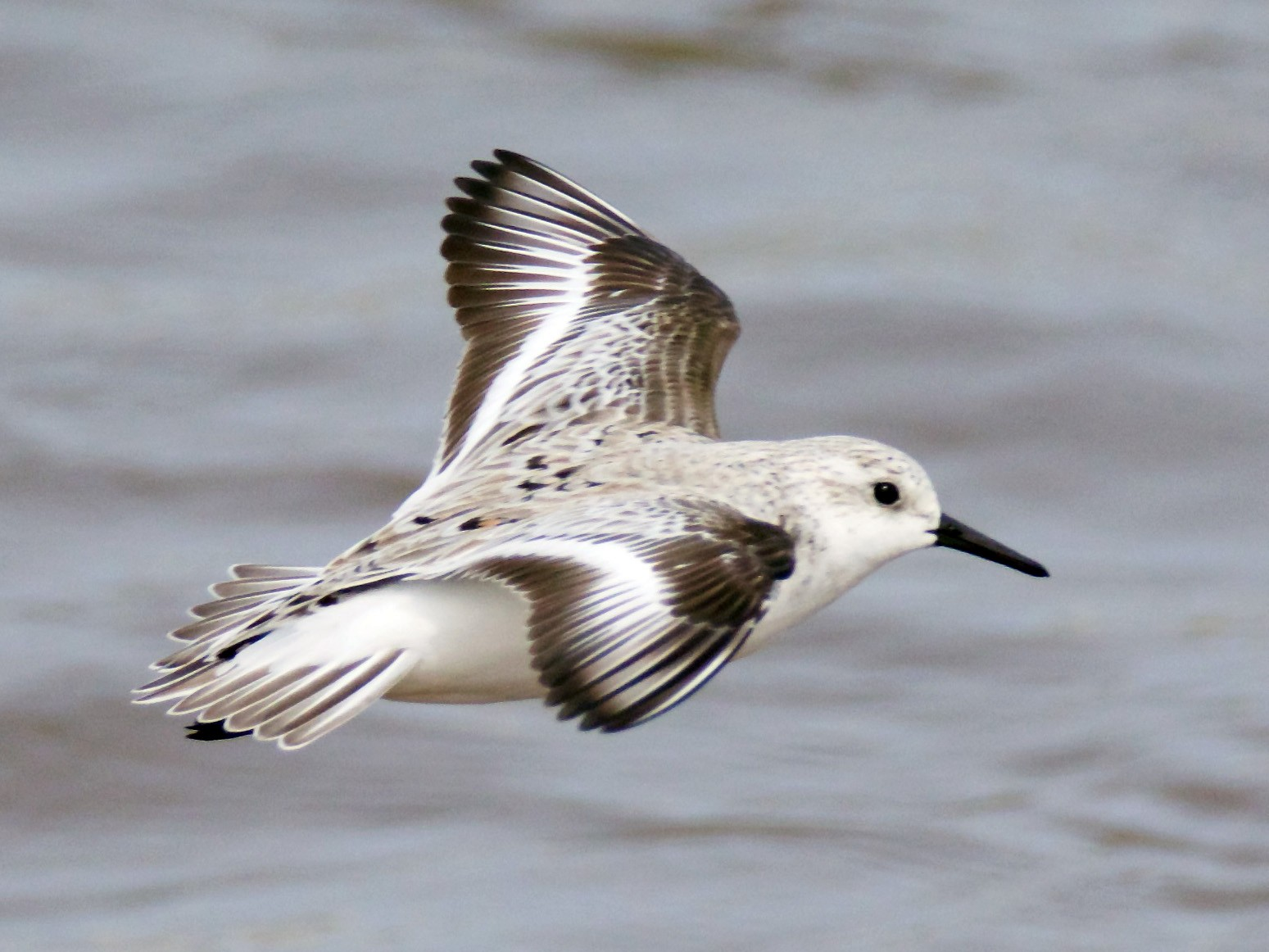 Sanderling - John P Richardson