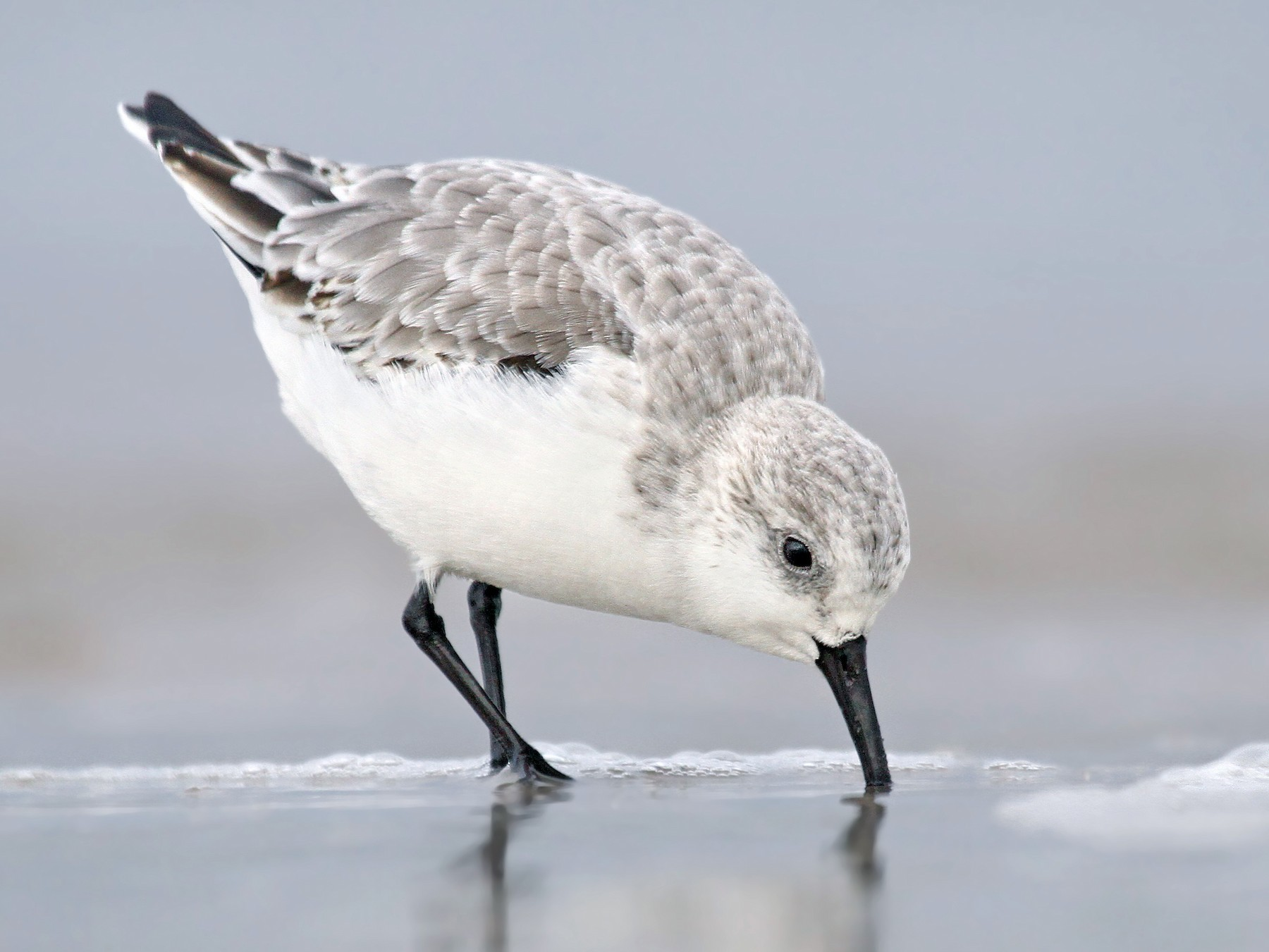 Sanderling - Ryan Schain