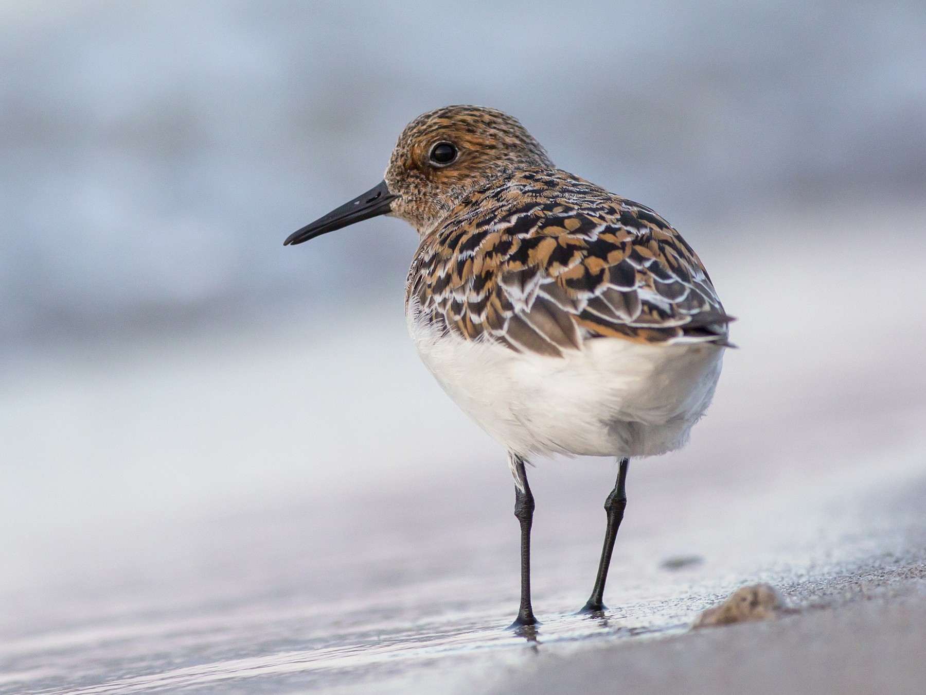 Sanderling - Alex Eberts