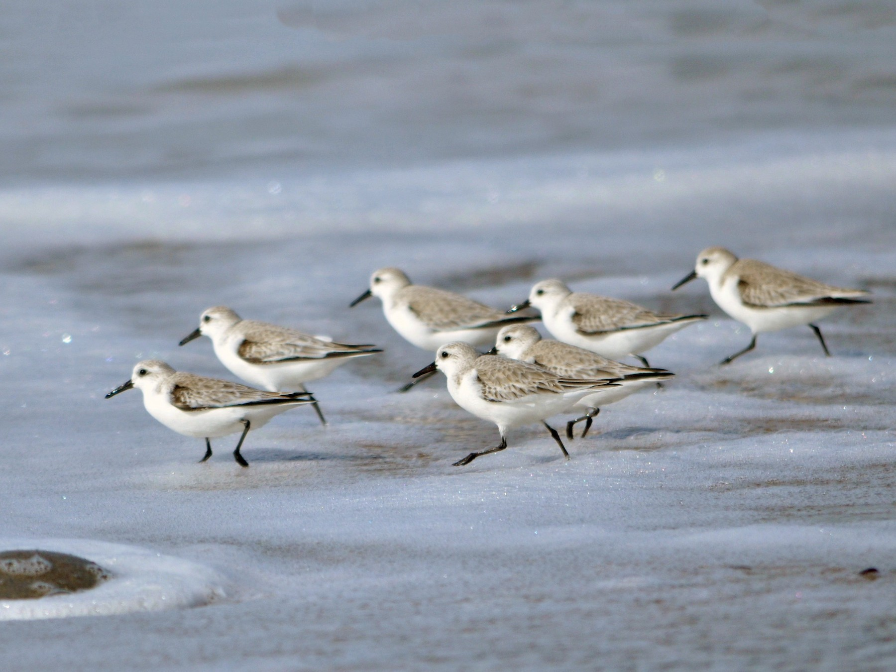 Sanderling - Theadora Block