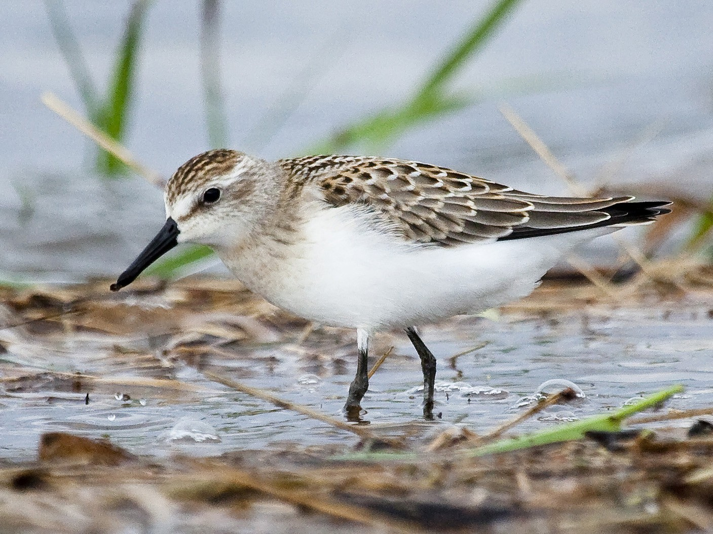 Semipalmated Sandpiper - Gordon Dimmig