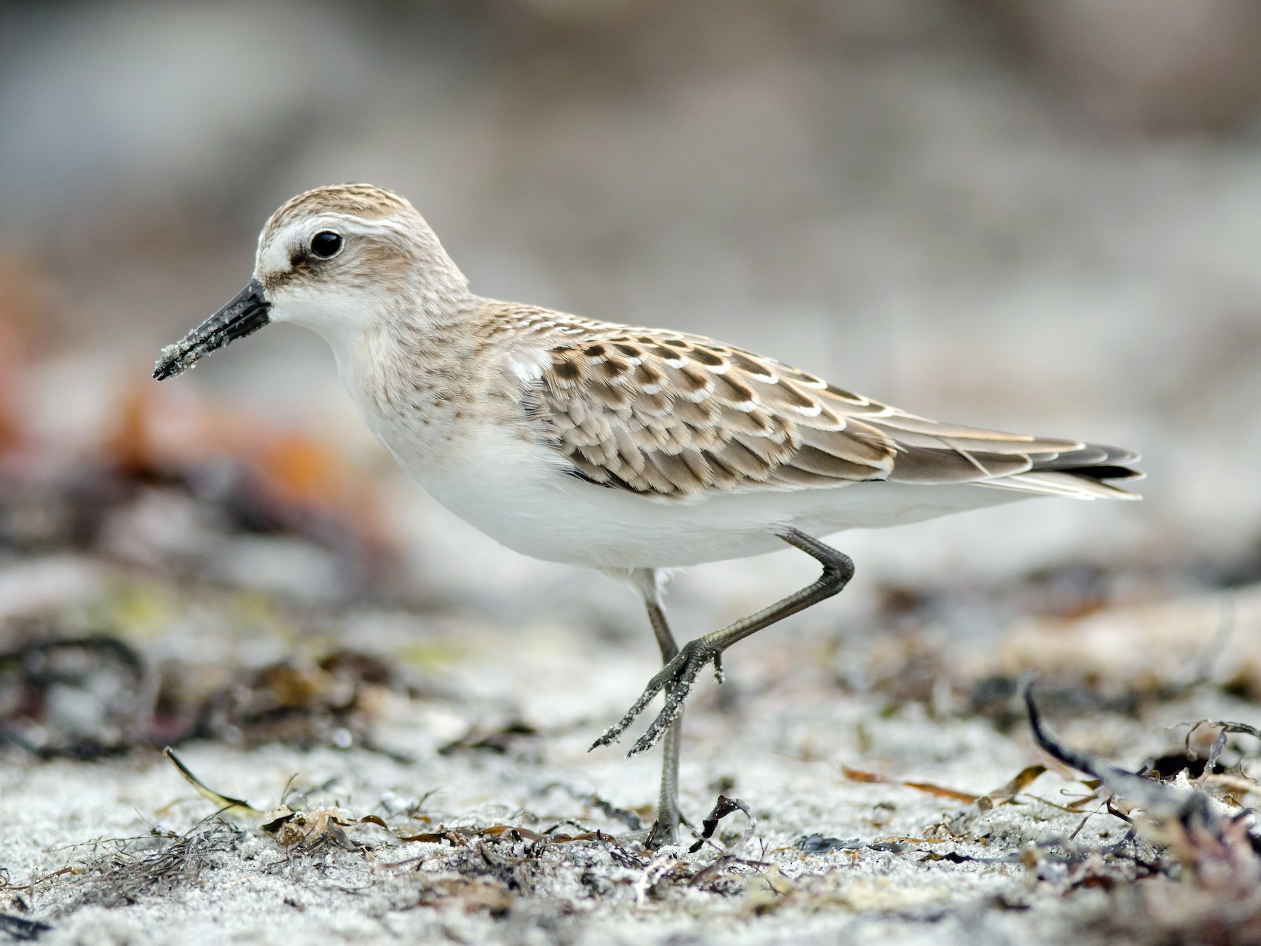Semipalmated Sandpiper - Alix d'Entremont