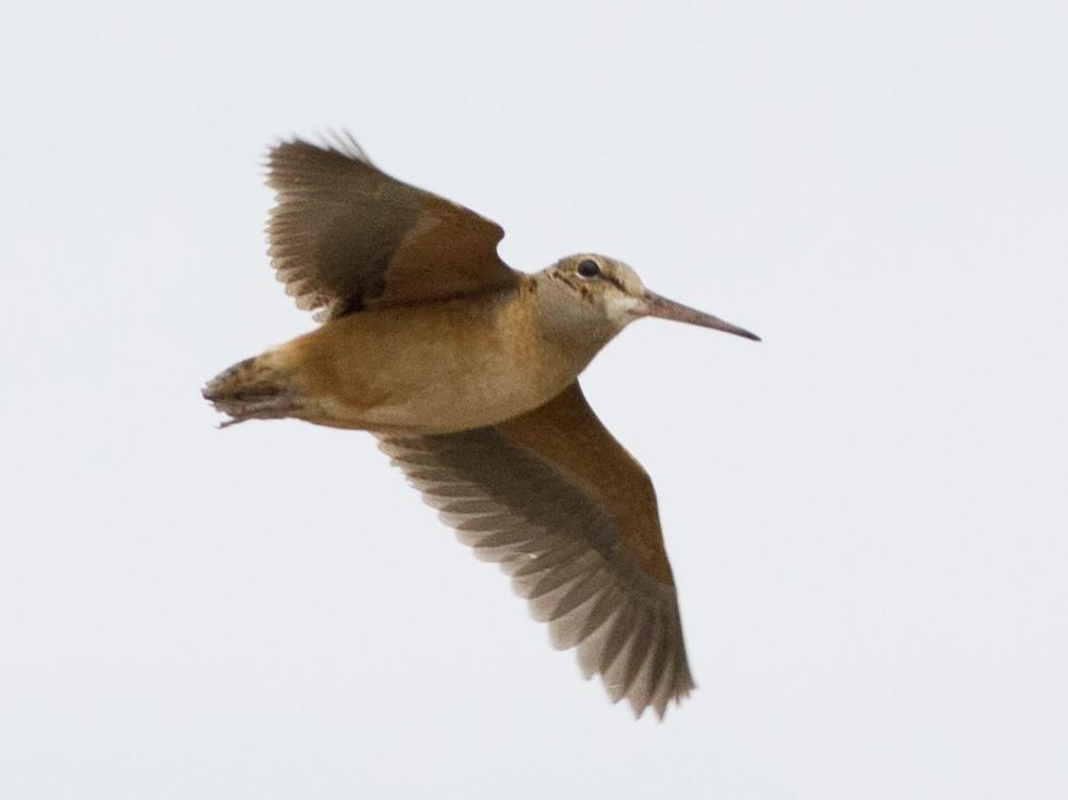 American Woodcock - Samuel Paul Galick