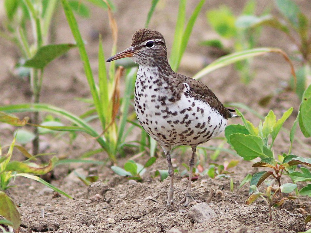 Spotted Sandpiper - Yves Gauthier (Mtl)
