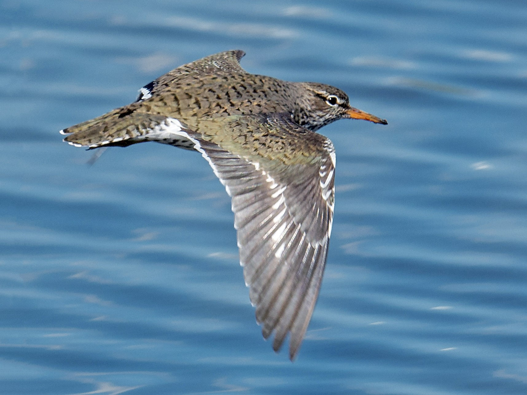 Spotted Sandpiper - Jeff Bleam
