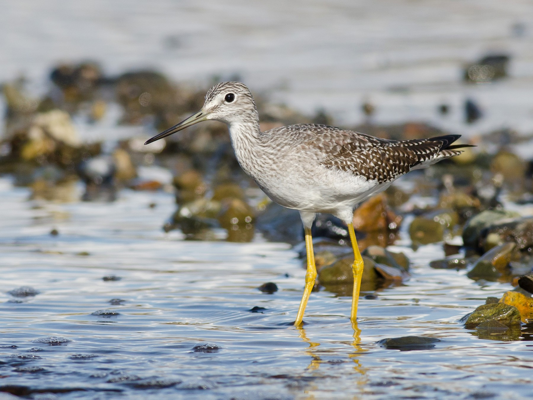 Greater Yellowlegs - Alix d'Entremont