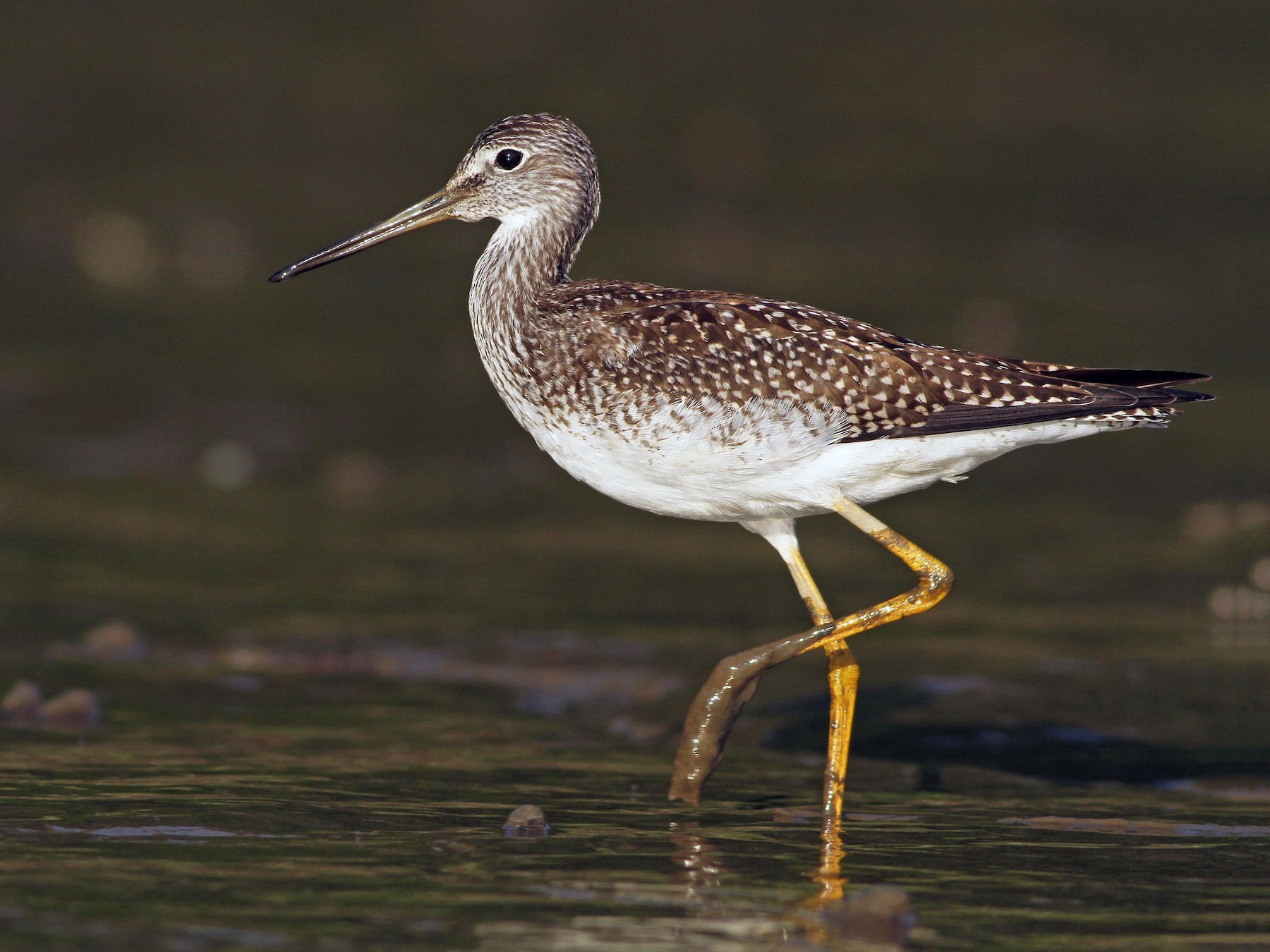 Greater Yellowlegs - Evan Lipton