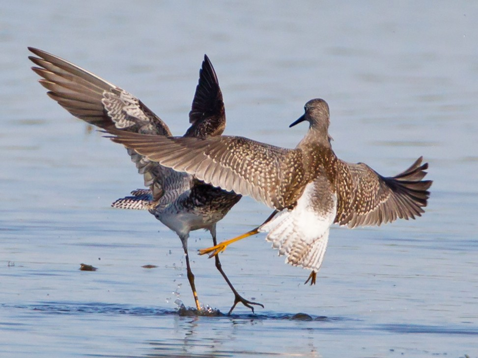 Lesser Yellowlegs - Ken Ball