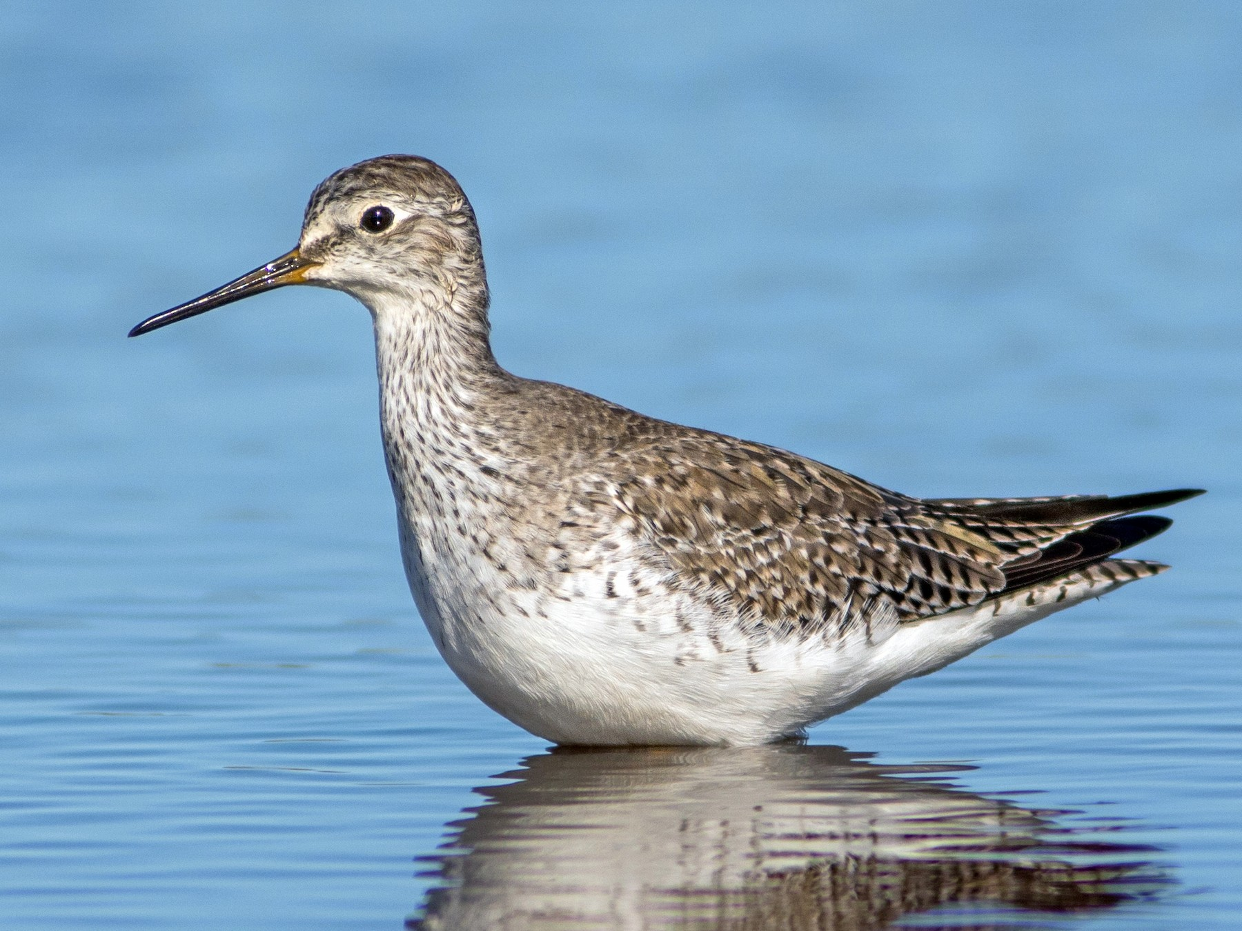 Lesser Yellowlegs - Fernando Farias