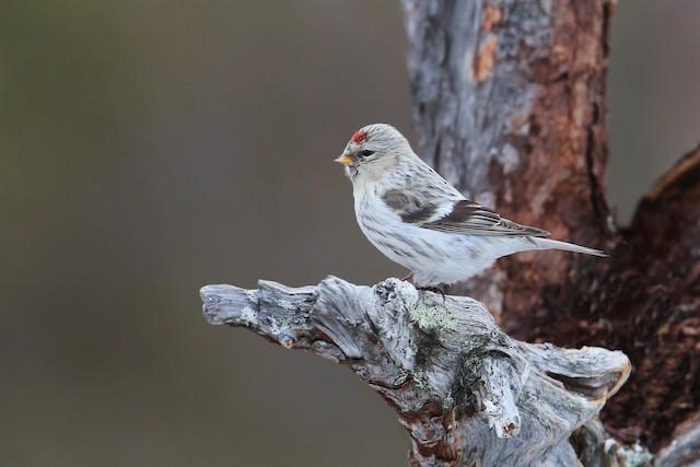 Hoary Redpoll (exilipes)
