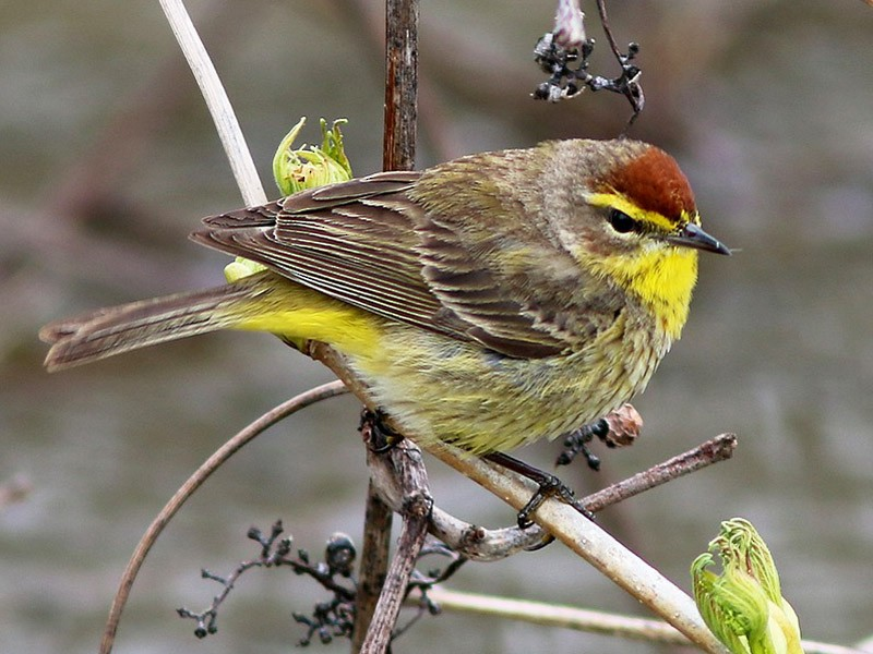 Palm Warbler - Yves Gauthier (Mtl)