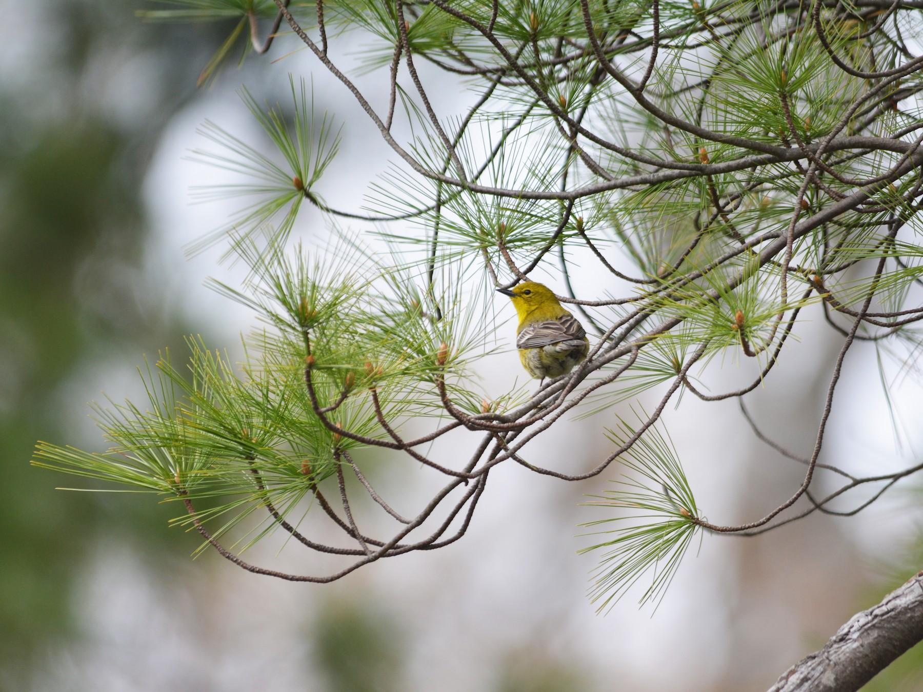 Pine Warbler - Alissa Milillo