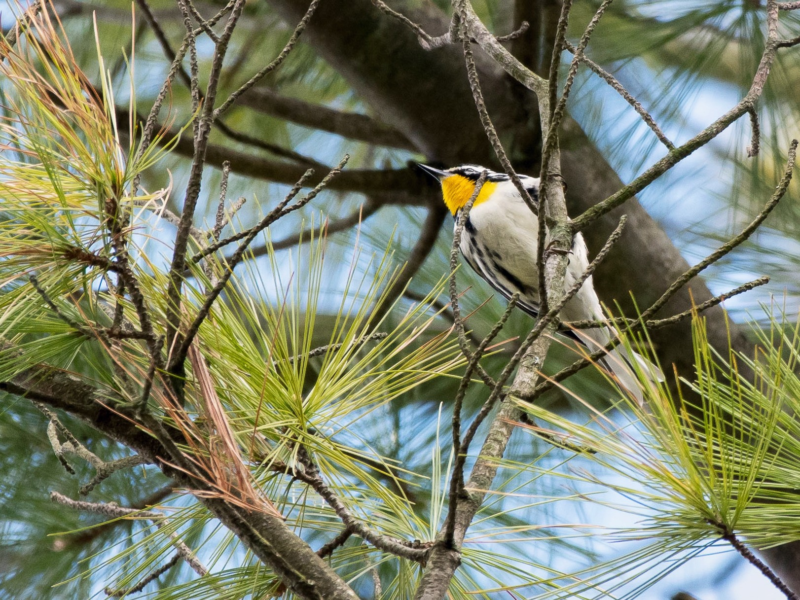 Yellow-throated Warbler - Charles Shields