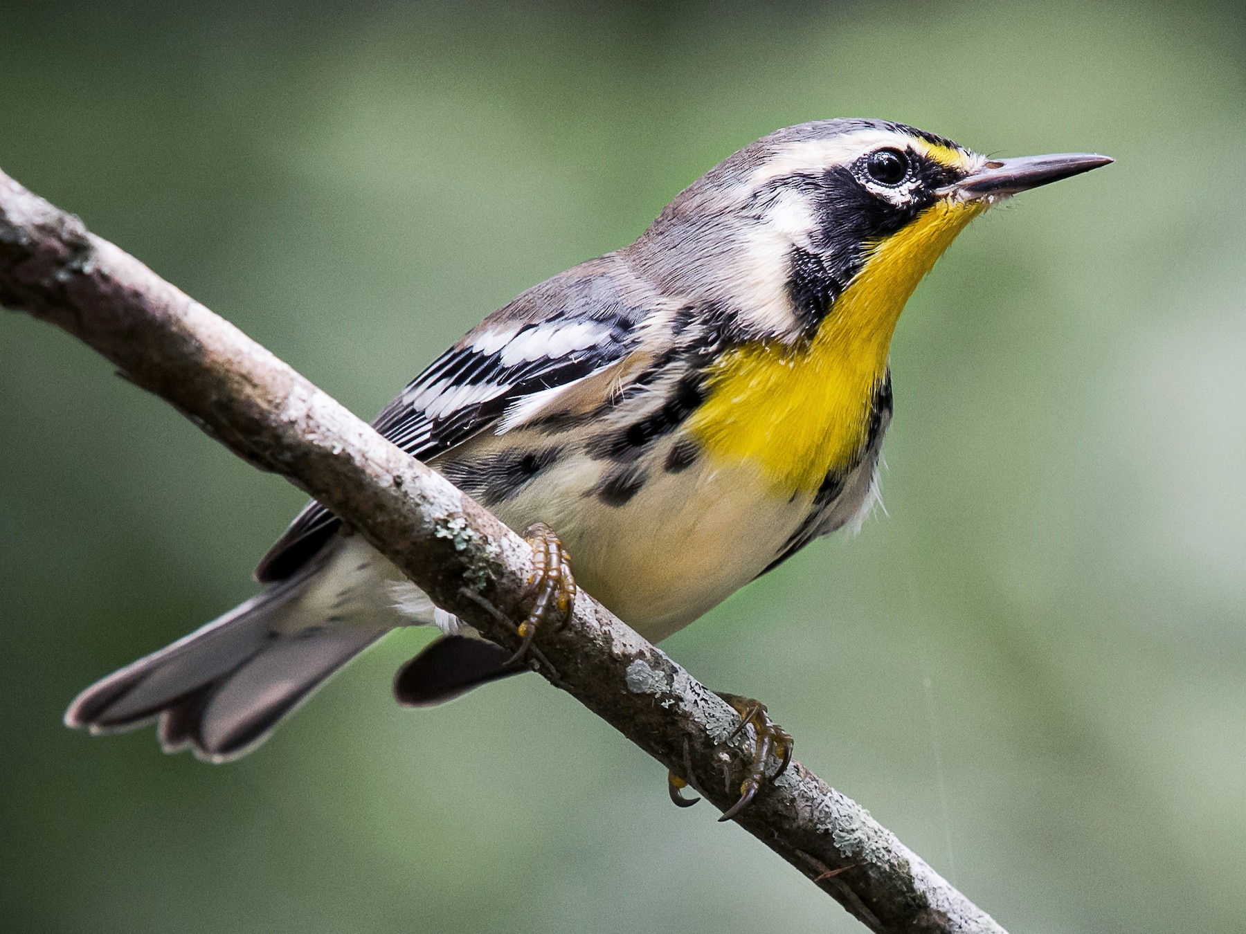 Yellow-throated Warbler - Melissa James
