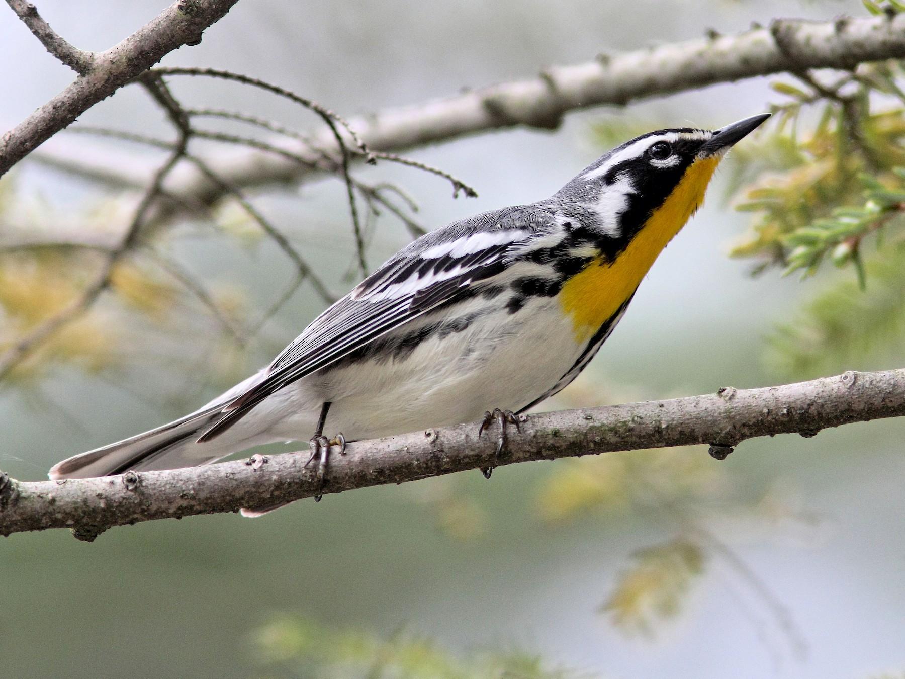 Yellow-throated Warbler - Ken Schneider