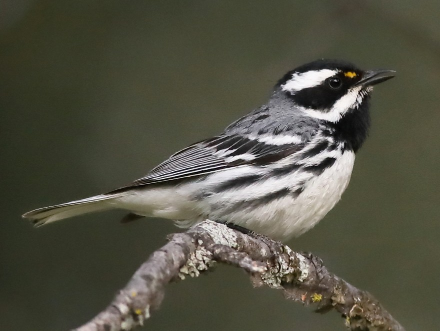 Black-throated Gray Warbler - Graham Montgomery