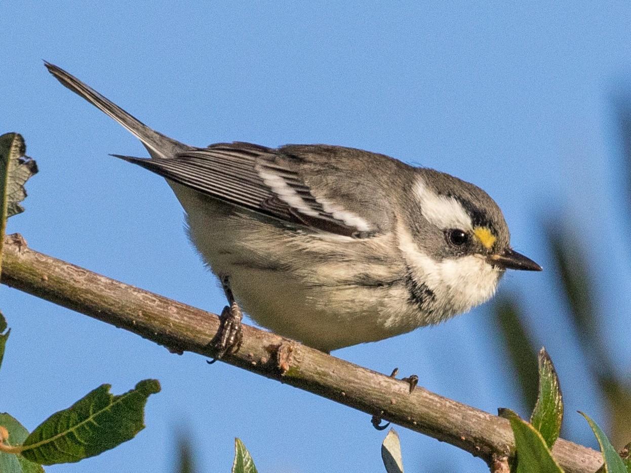 Black-throated Gray Warbler - Kathleen Kent
