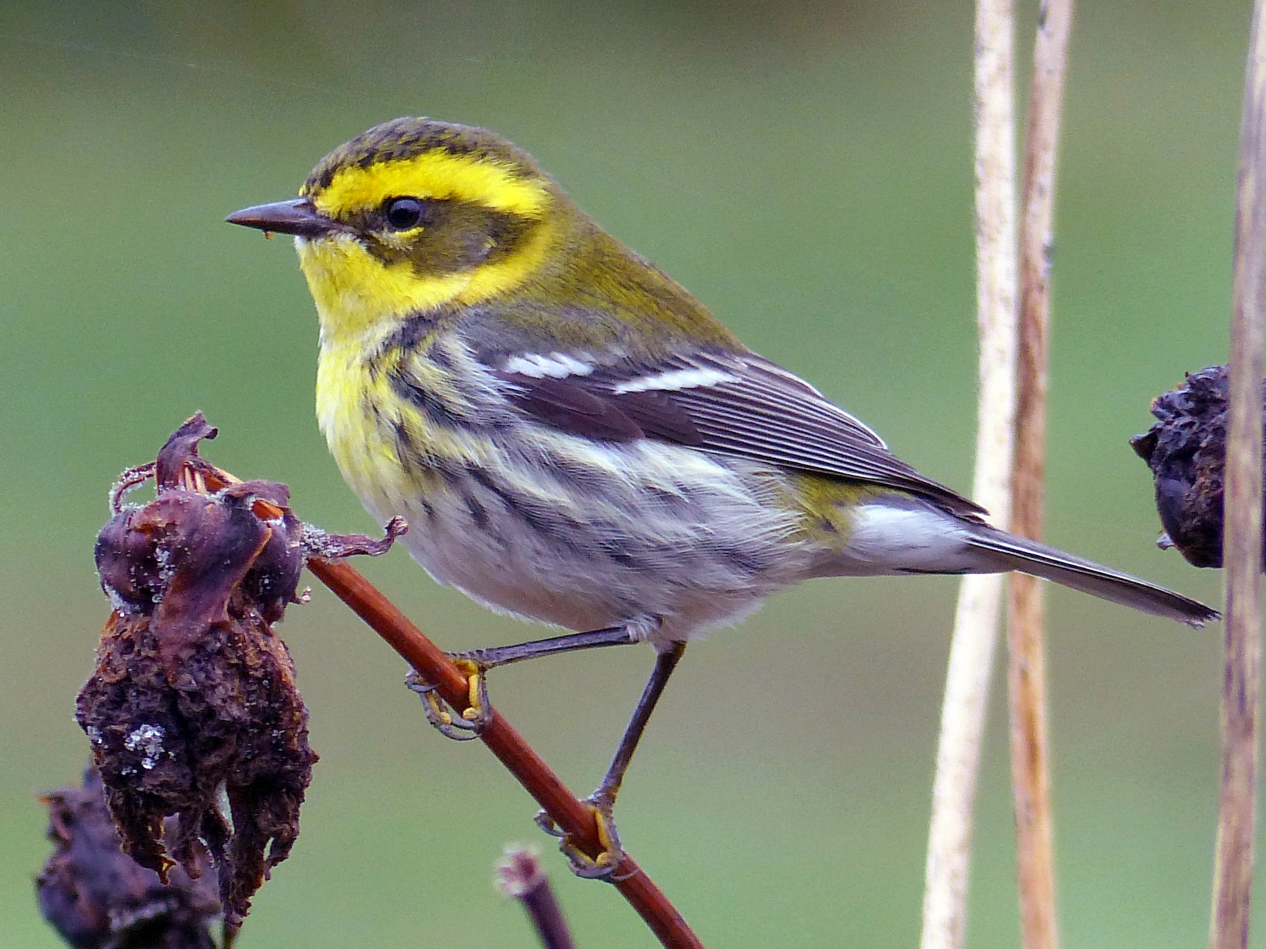 Townsend's Warbler - Rob Fowler