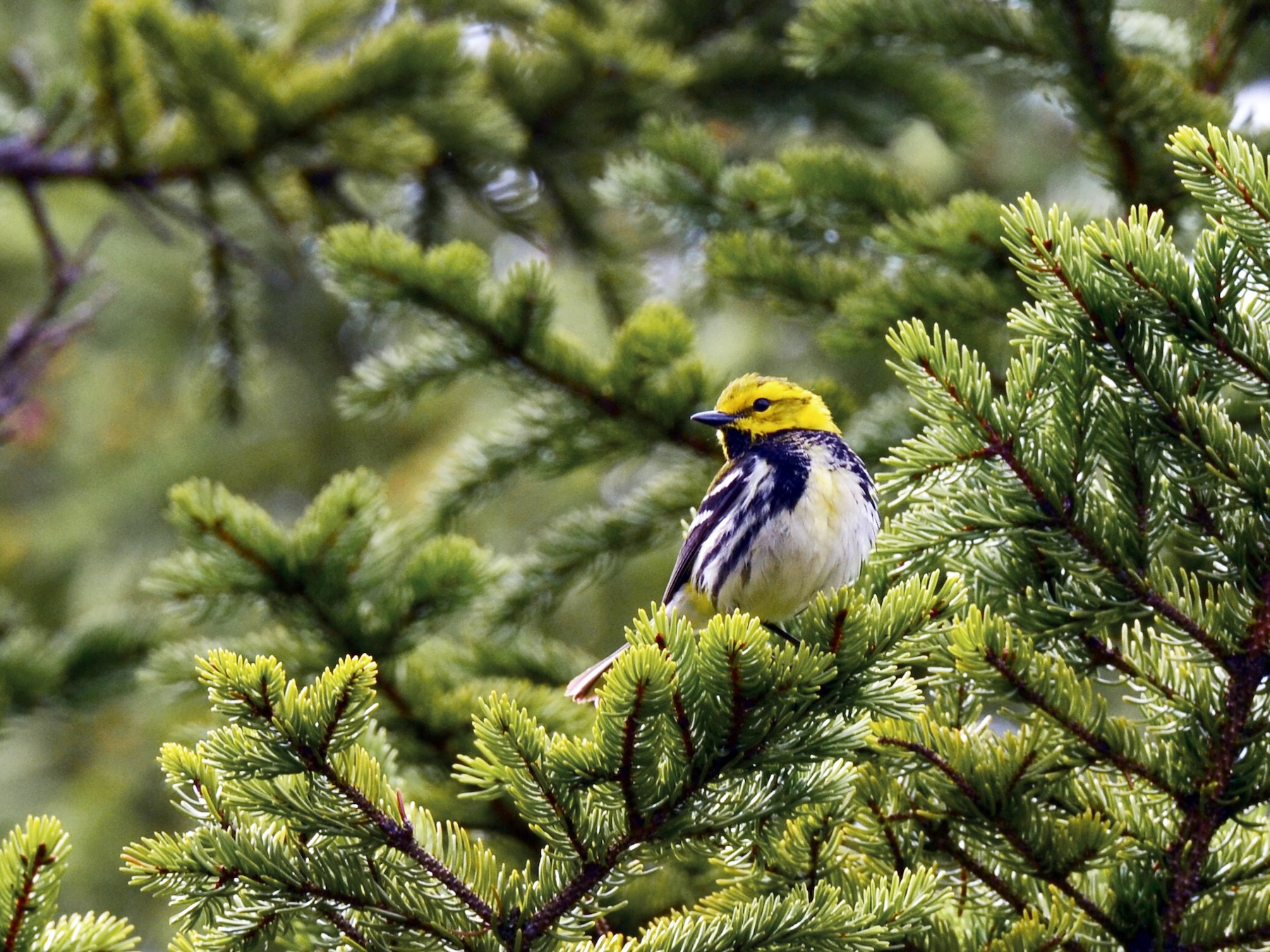 Black-throated Green Warbler - Epi Shemming