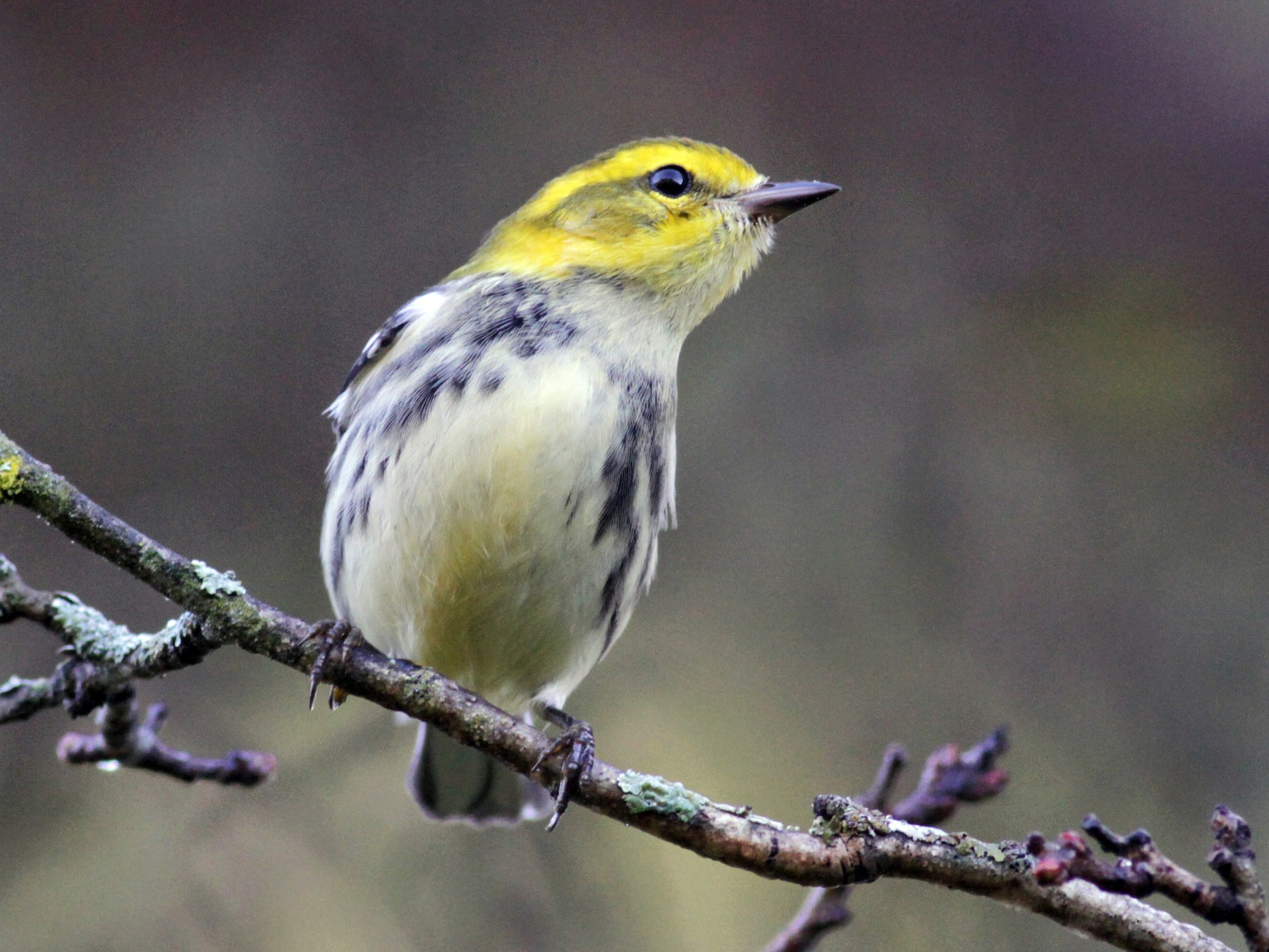 Black-throated Green Warbler - Jay McGowan
