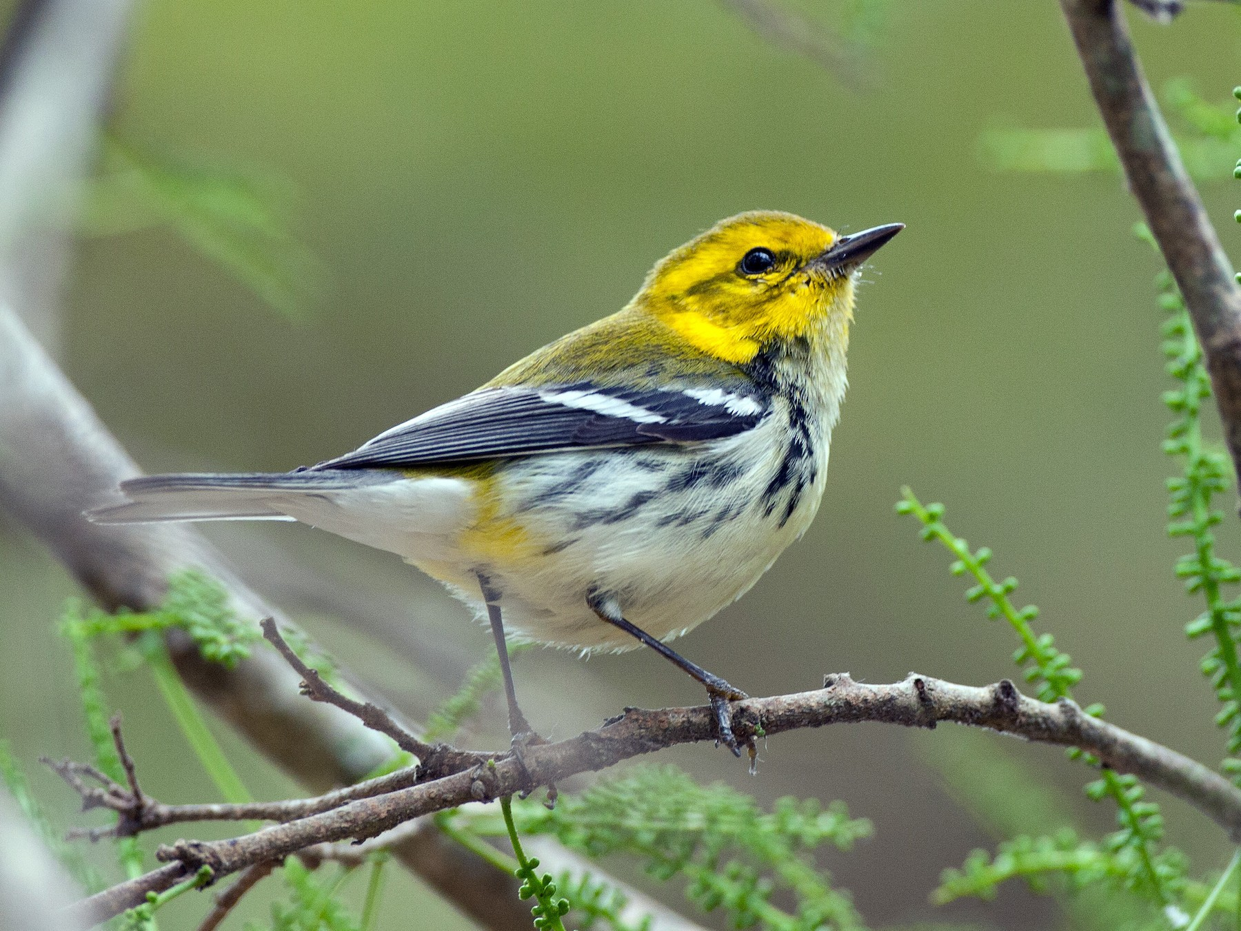 Black-throated Green Warbler - Chris Wood