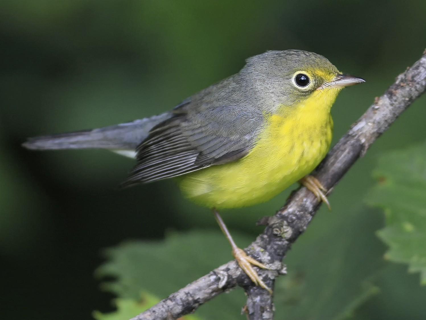 Canada Warbler - Don Blecha