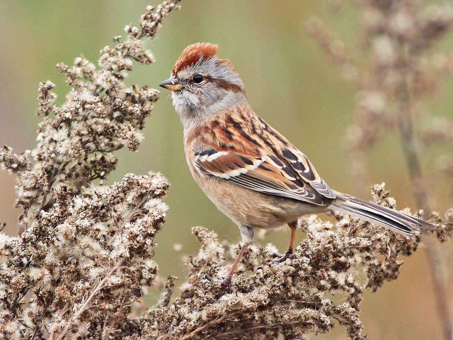 American Tree Sparrow - Jeremiah Trimble