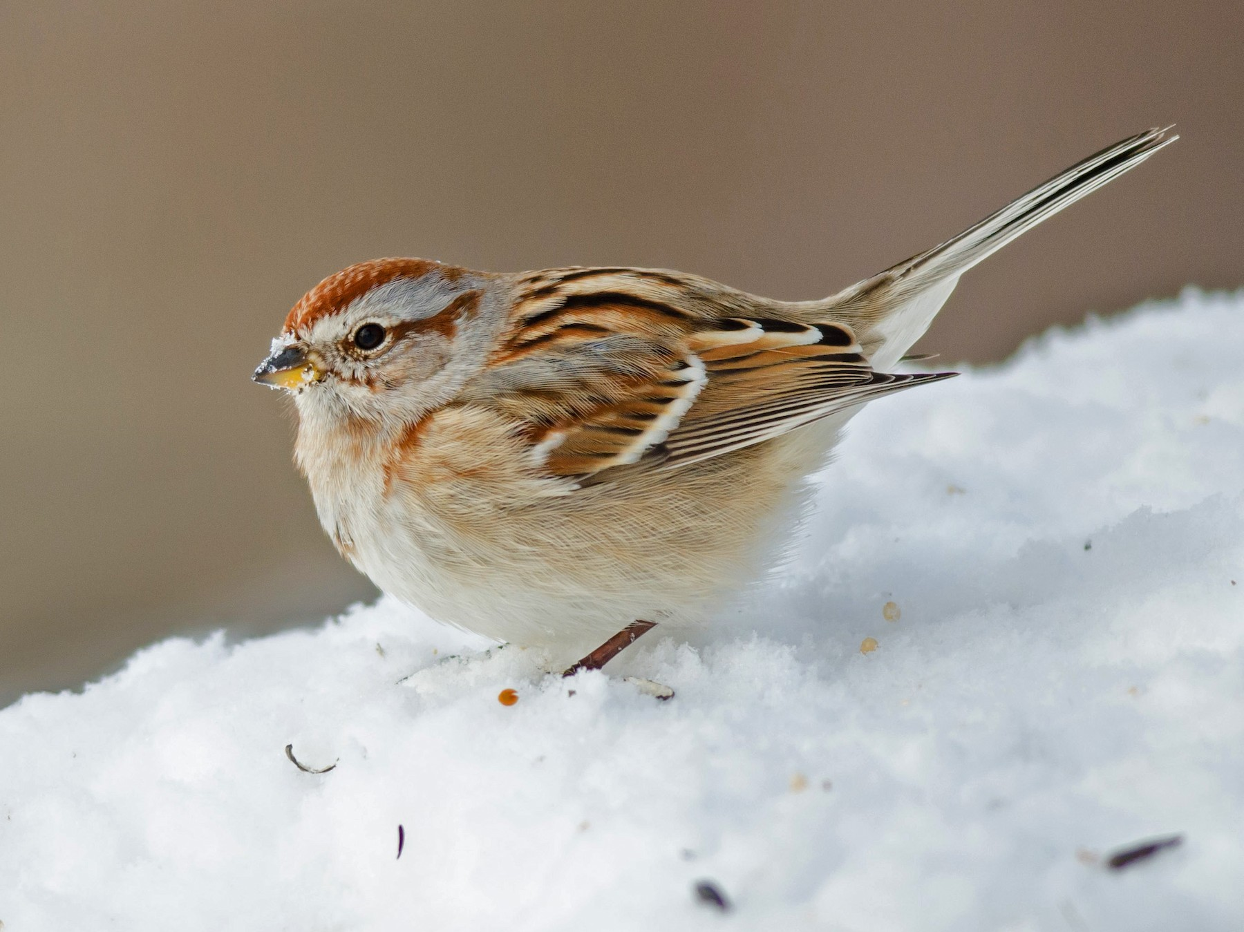 American Tree Sparrow - Alix d'Entremont