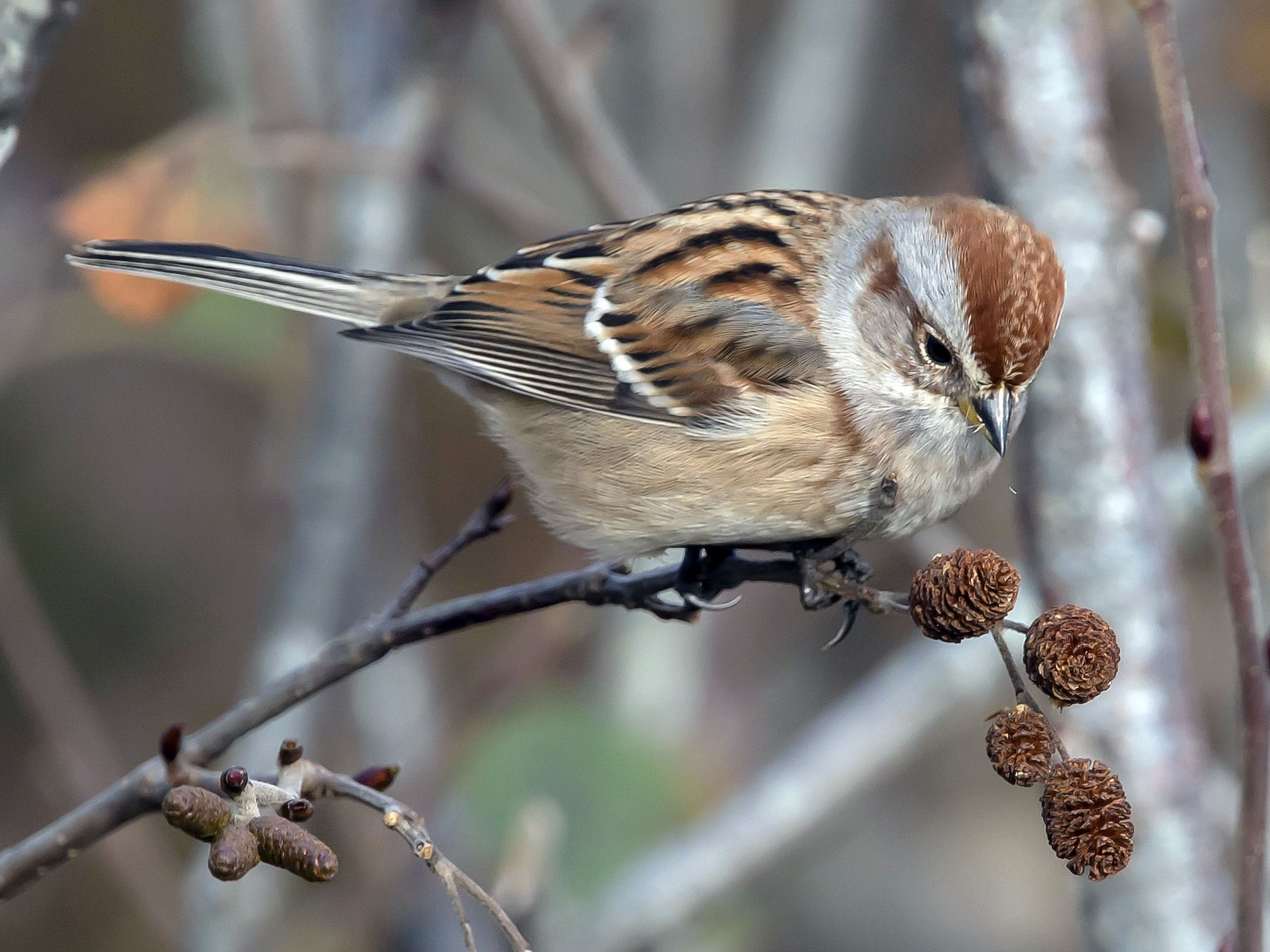 American Tree Sparrow - Ronnie d'Entremont