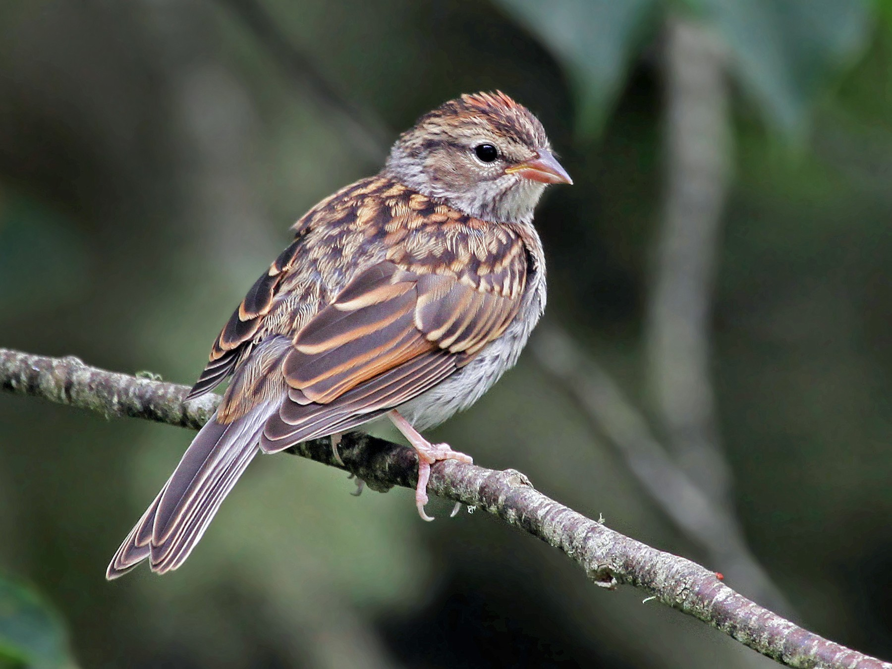 Chipping Sparrow - Ryan Schain
